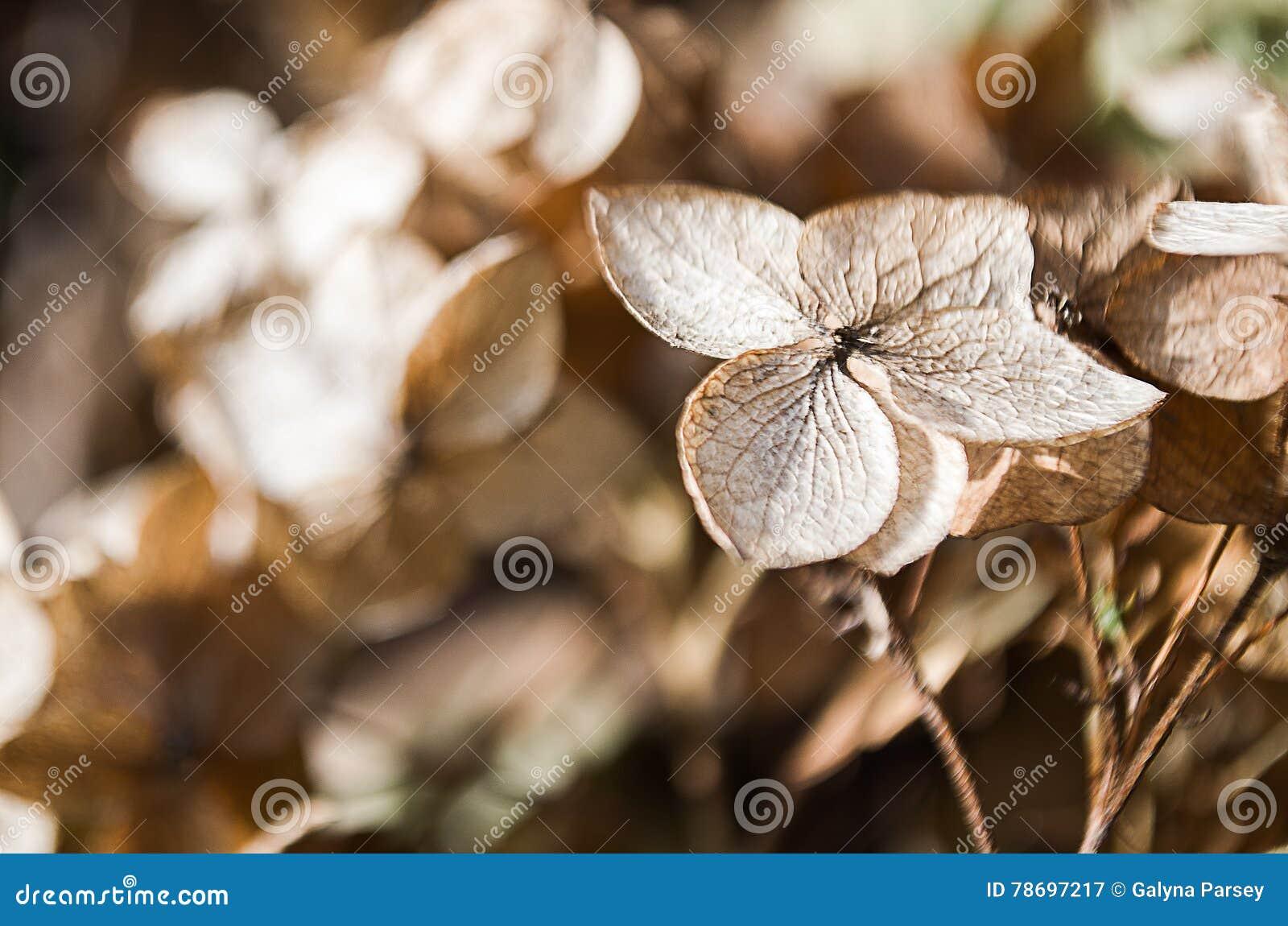 Fiori Di Ortensia Secchi fiori secchi dell'ortensia immagine stock. immagine di vita