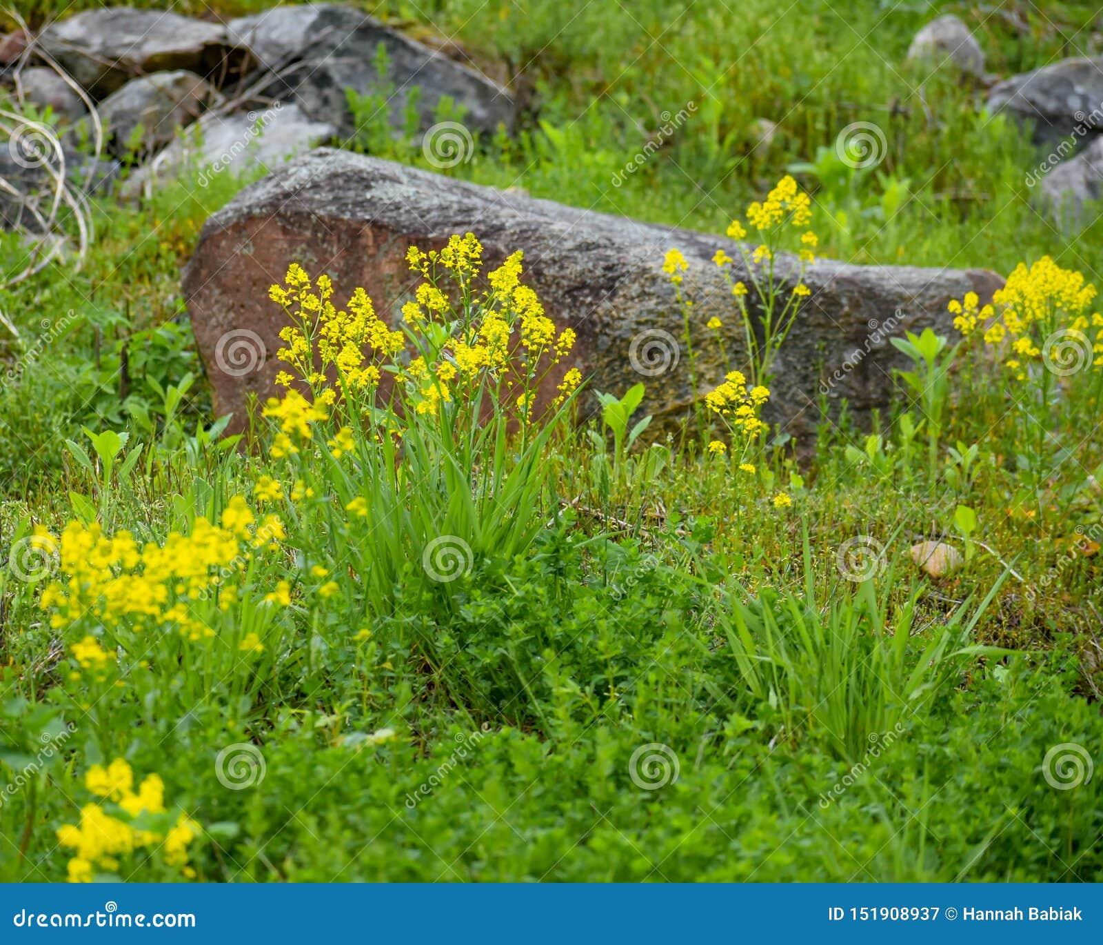 Fiori Selvatici Gialli.Fiori Selvatici Gialli Con Grandi Rocce Immagine Stock Immagine