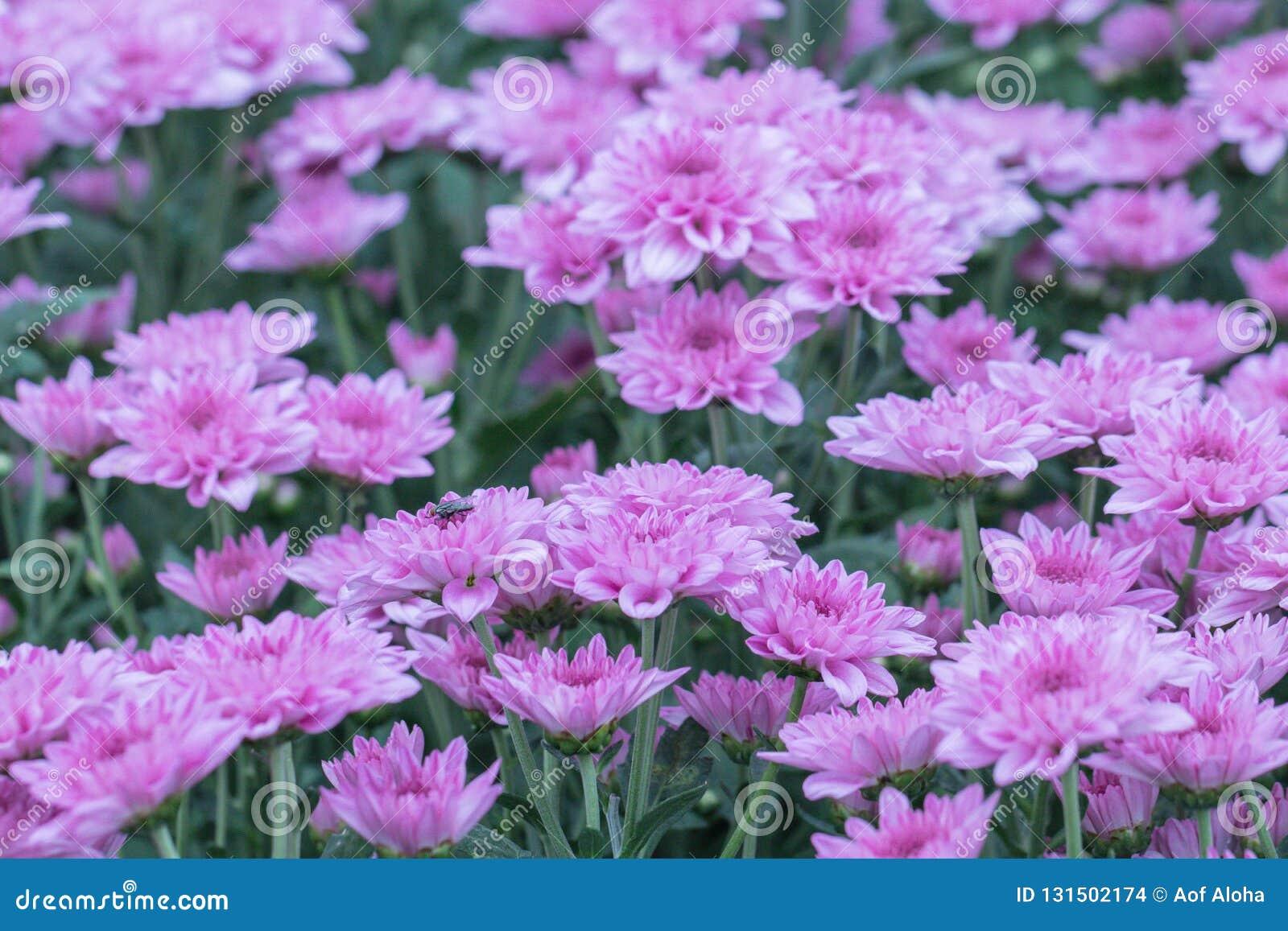 Fiori variopinti del crisantemo in un giardino Le mummie a volte chiamate fioriscono