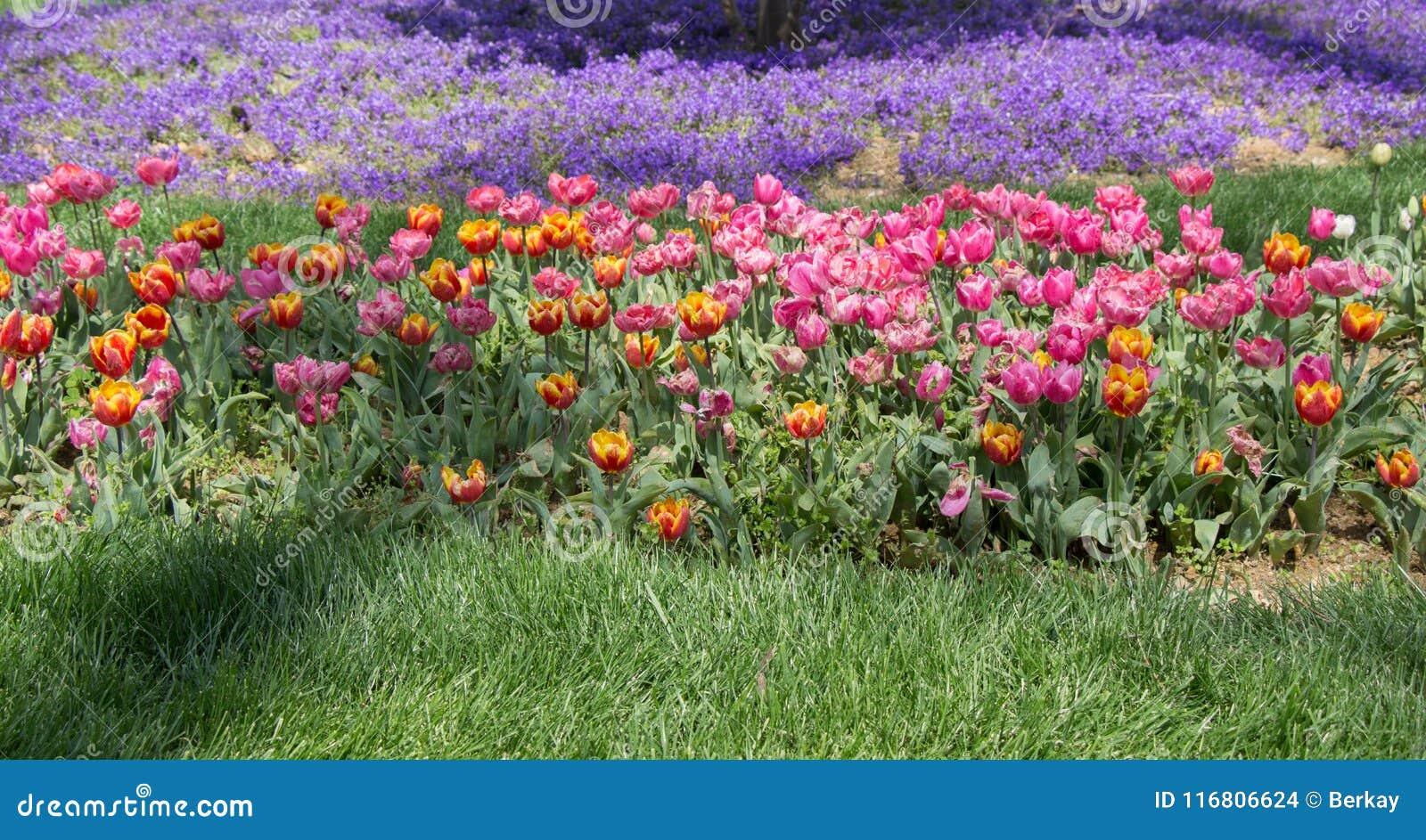 Fiori variopinti di fioritura del tulipano come fondo floreale