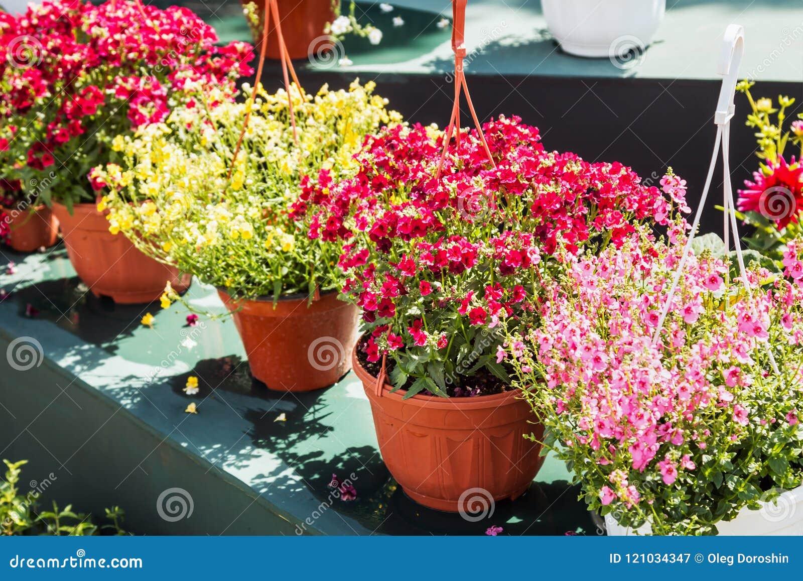 Decorazione Vasi Da Giardino : Fiori in vasi per decorare le vie le case ed i giardini immagine
