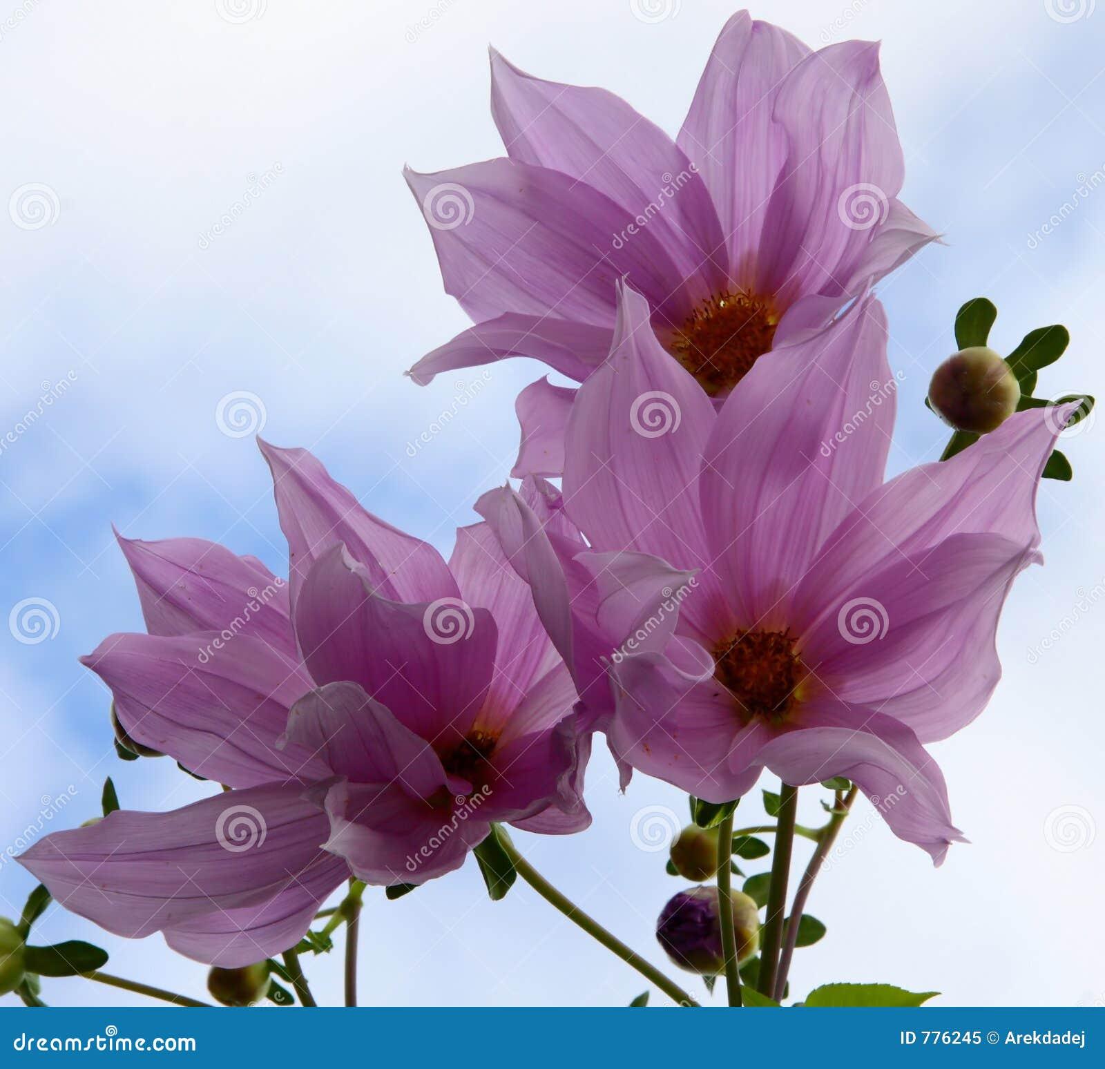 Fiori viola fotografia stock libera da diritti immagine for Pianta fiori viola