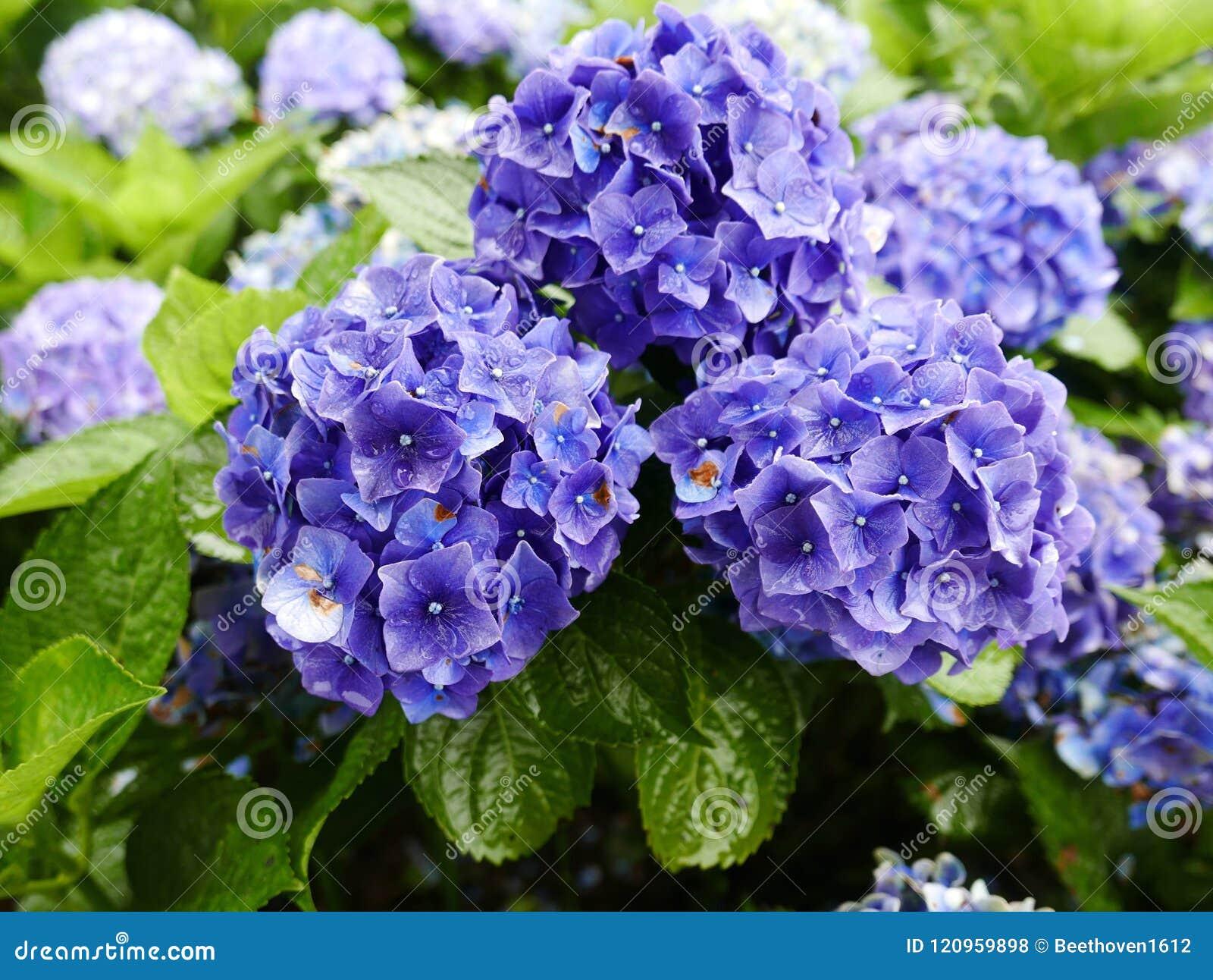 Fiori Viola.Fiori Viola Del Hydrangea Fotografia Stock Immagine Di Giardino