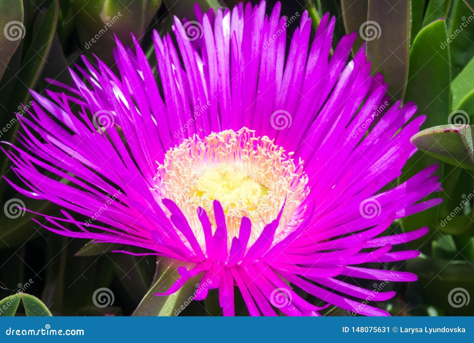Fiori E Piante Commestibili fiori viola e foglie verdi spesse del carpobrotus il