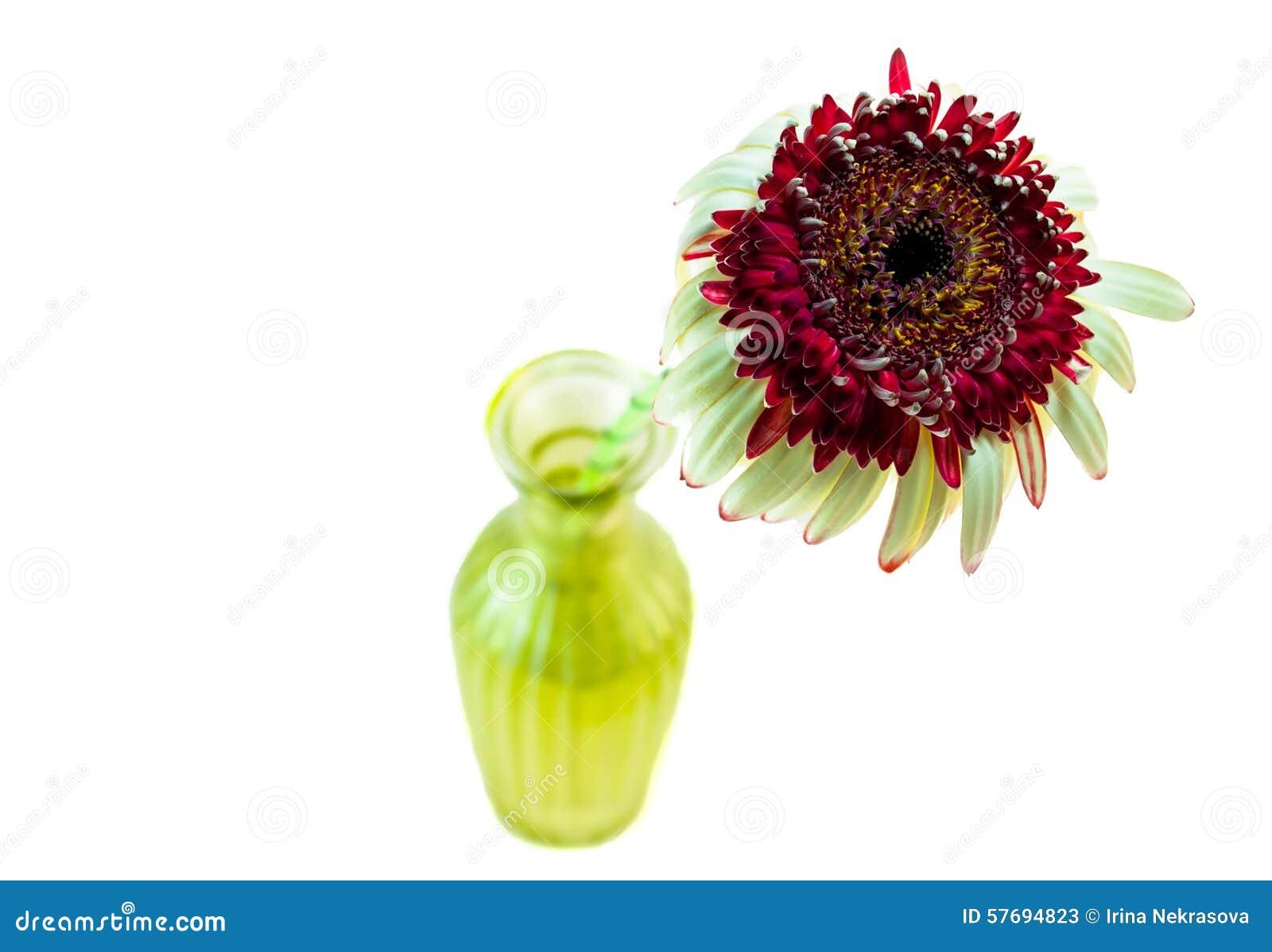 Fiorisca il upgrowth della gerbera in una vista del vaso da sopra l immagine isolata
