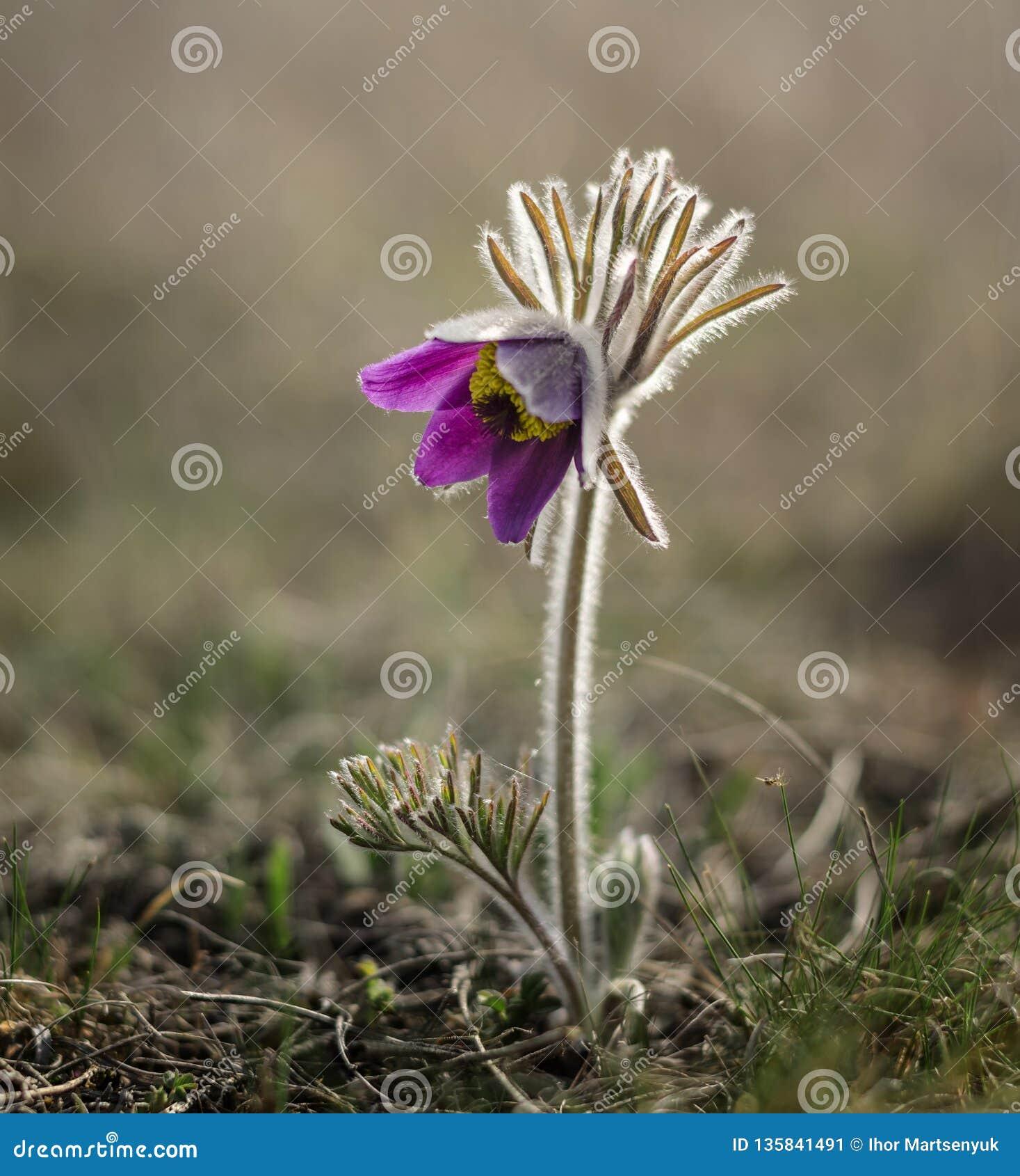 Fioritura del fiore di Pasque