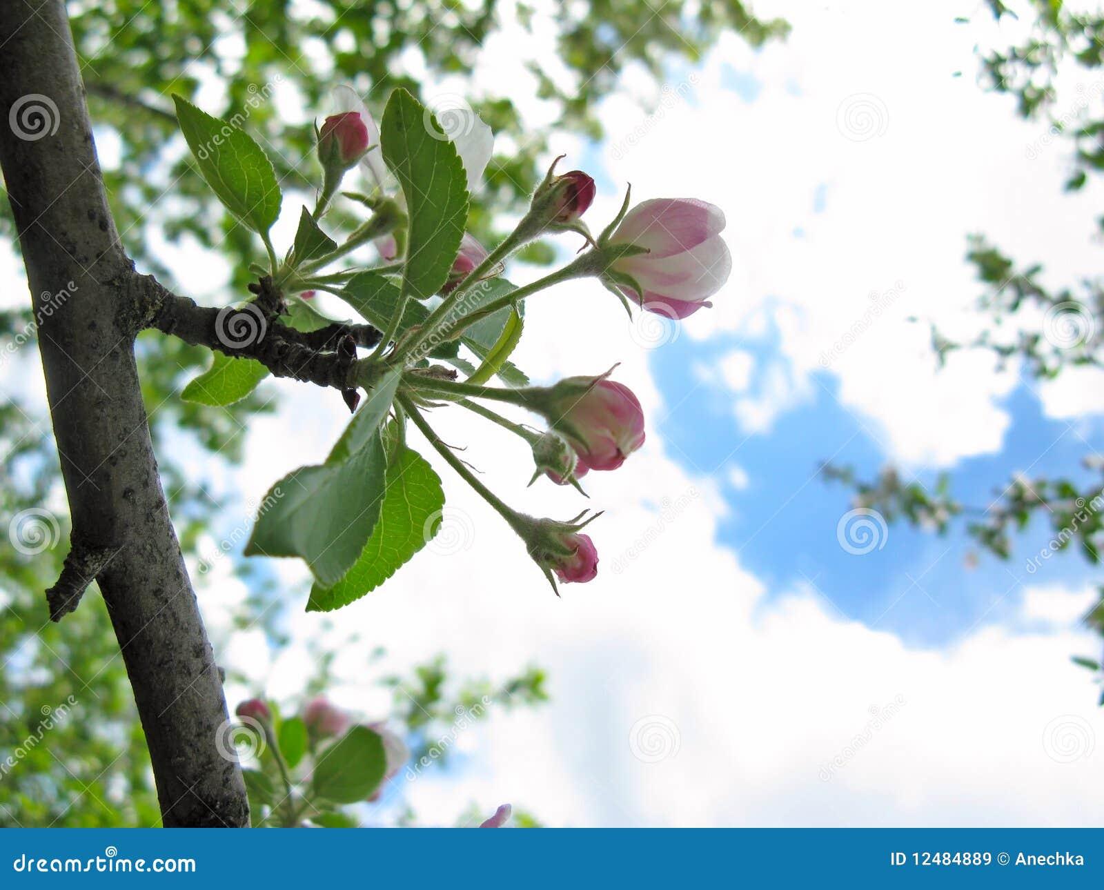 Fioritura della sorgente degli alberi da frutto immagini for Alberi da frutto prezzi
