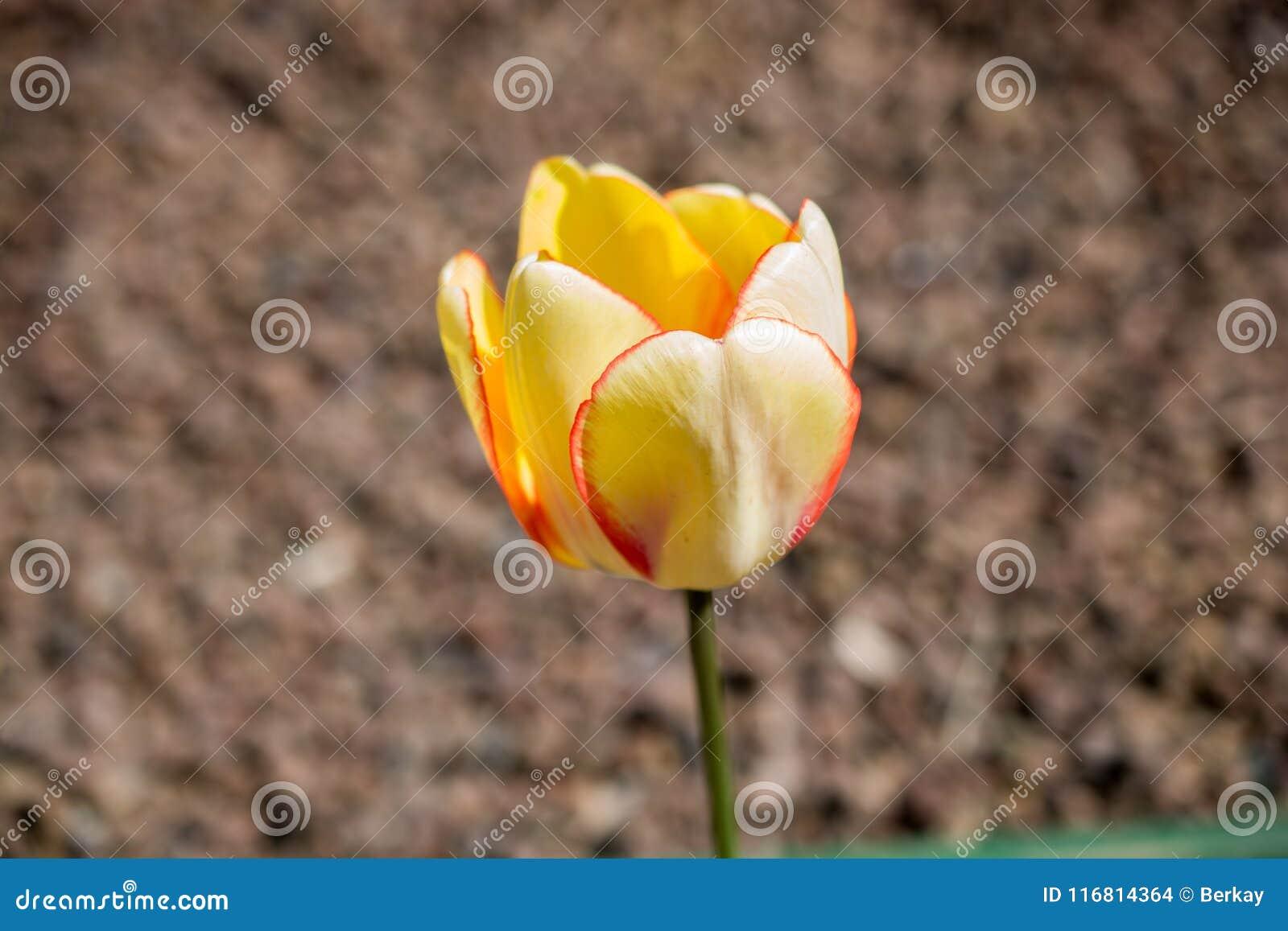 Fioritura fresca variopinta del fiore del tulipano nel giardino
