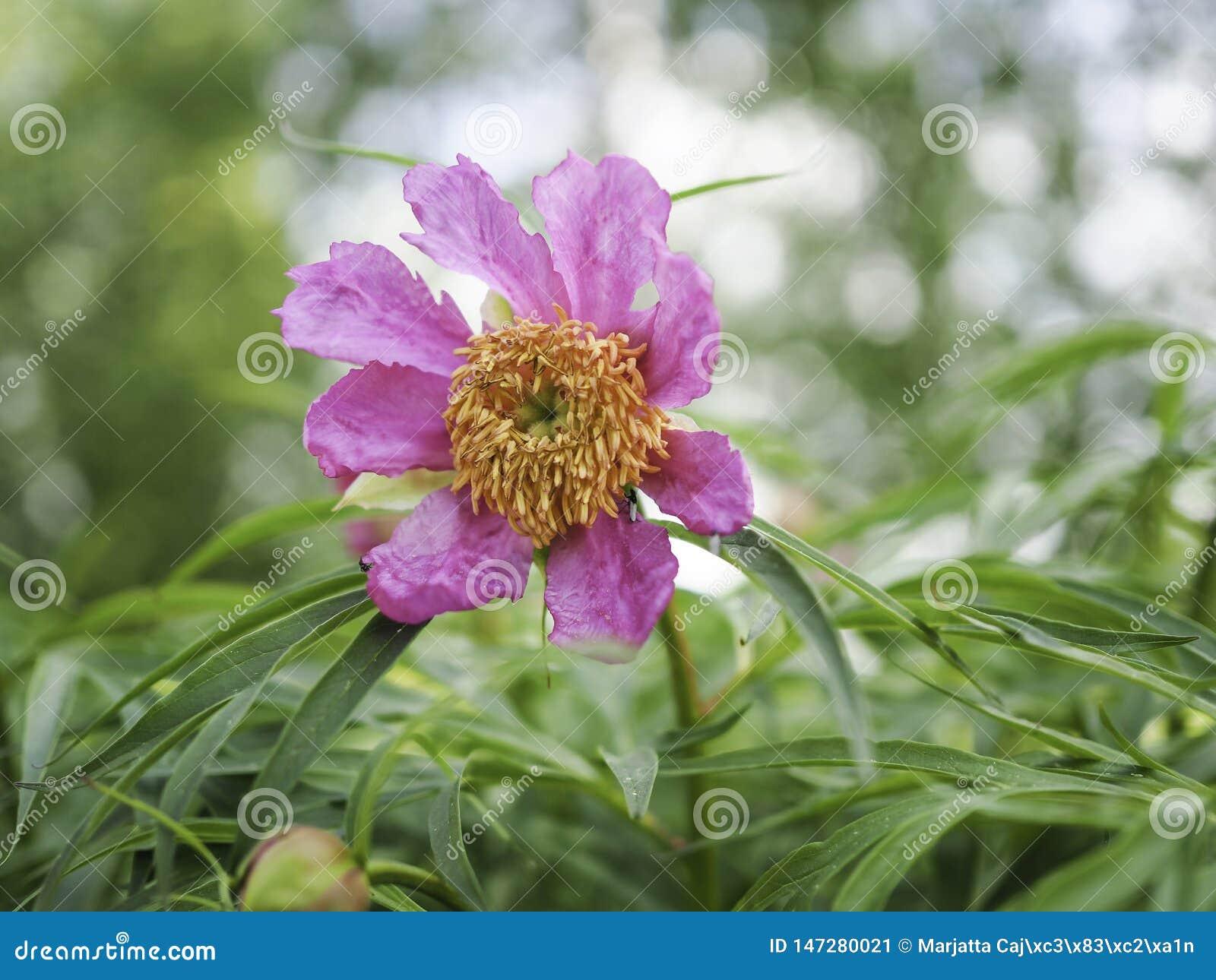 Fioritura rosa del anomala di Paeonia della peonia