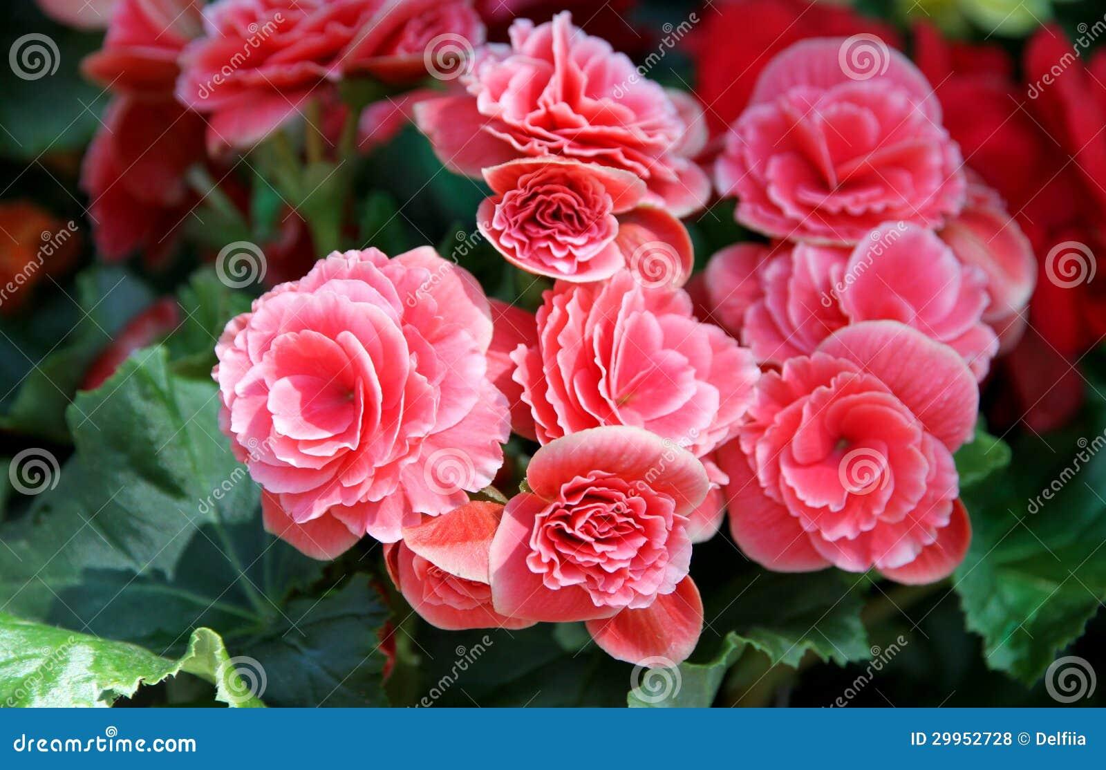 Fiori rosa della begonia fotografie stock libere da for Begonia pianta