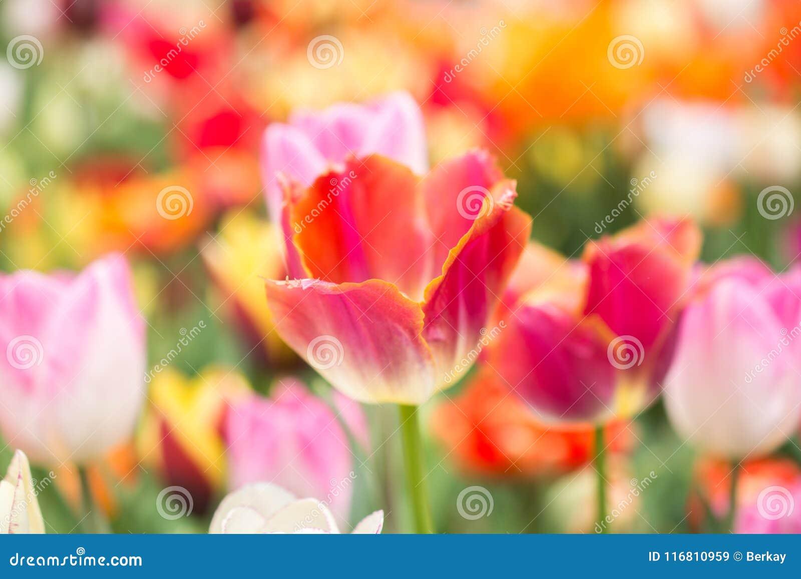 Fioritura variopinta del fiore del tulipano nel giardino