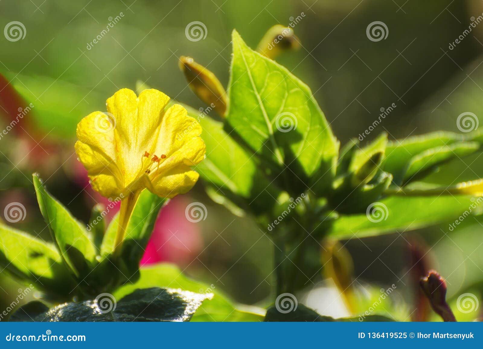 Fioriture della petunia nel giardino in primavera