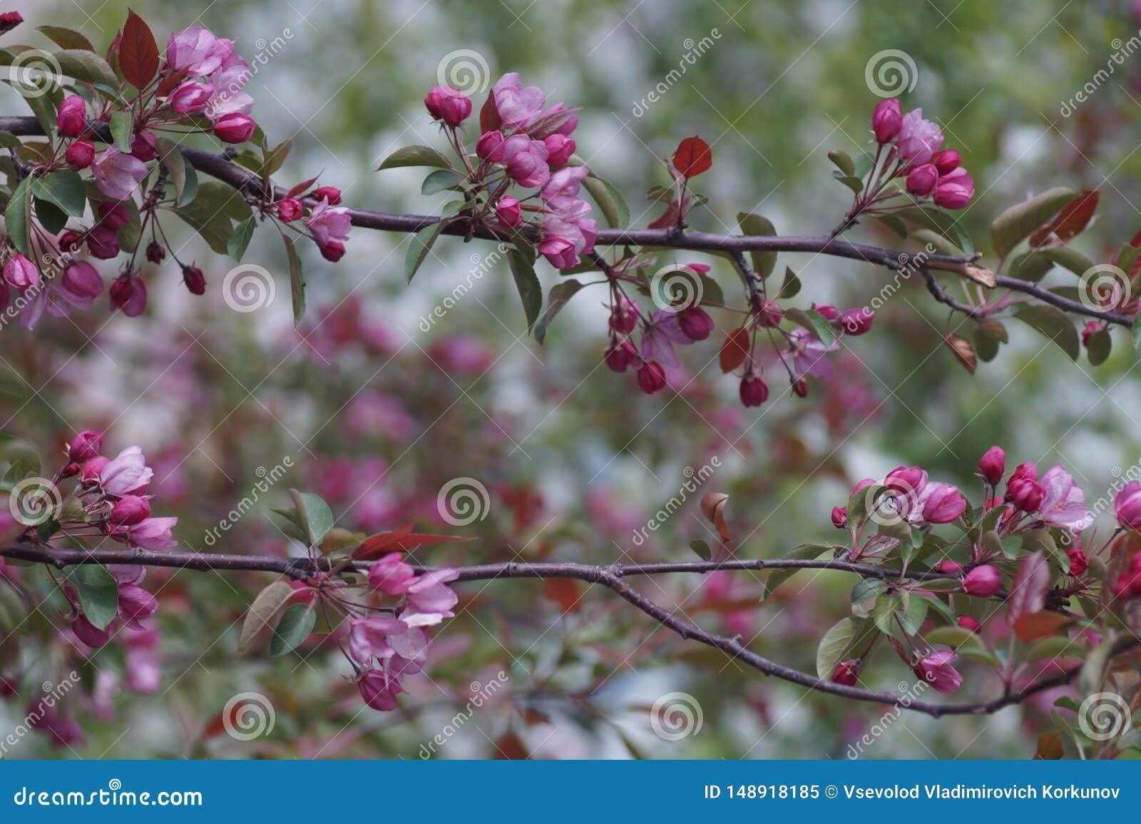 Fioriture di melo bene nello stile di sakura