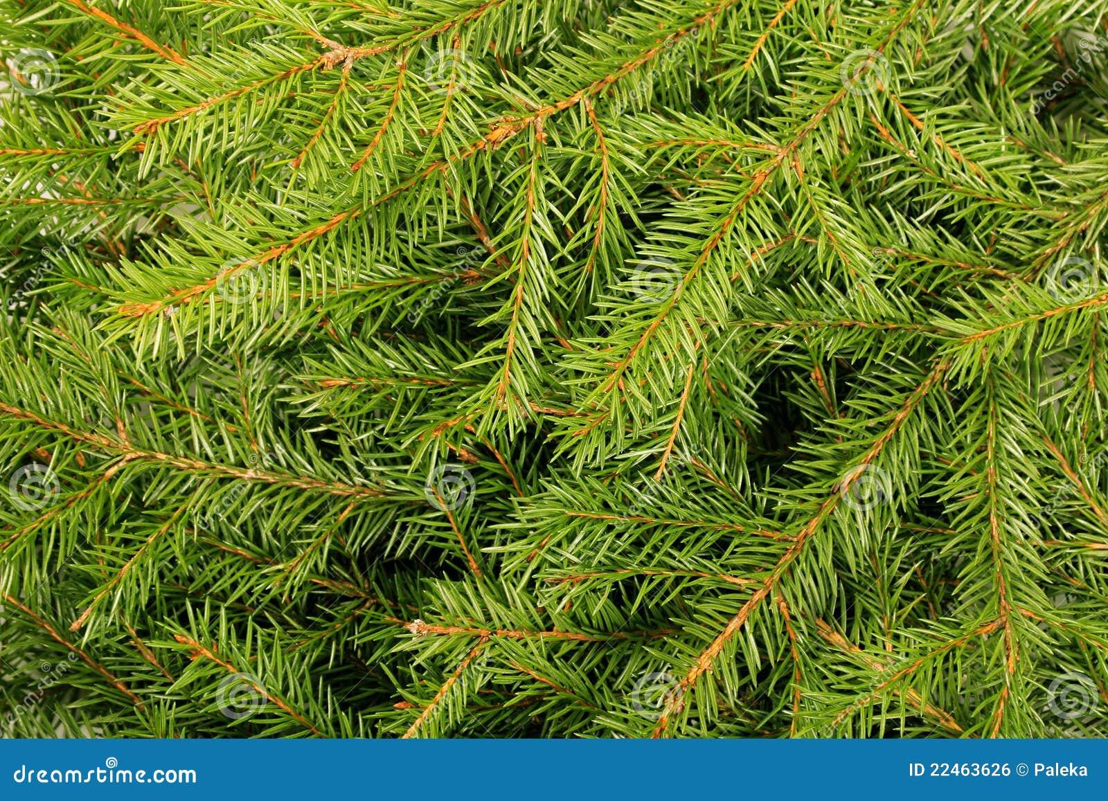 Pine Tree Allergy | Causes, Symptoms & Treatment | ACAAI ...