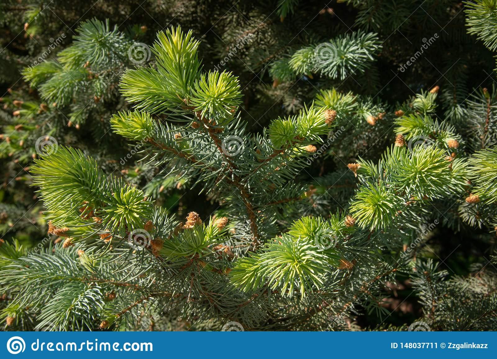 Fir branches under bright sunlight. Background