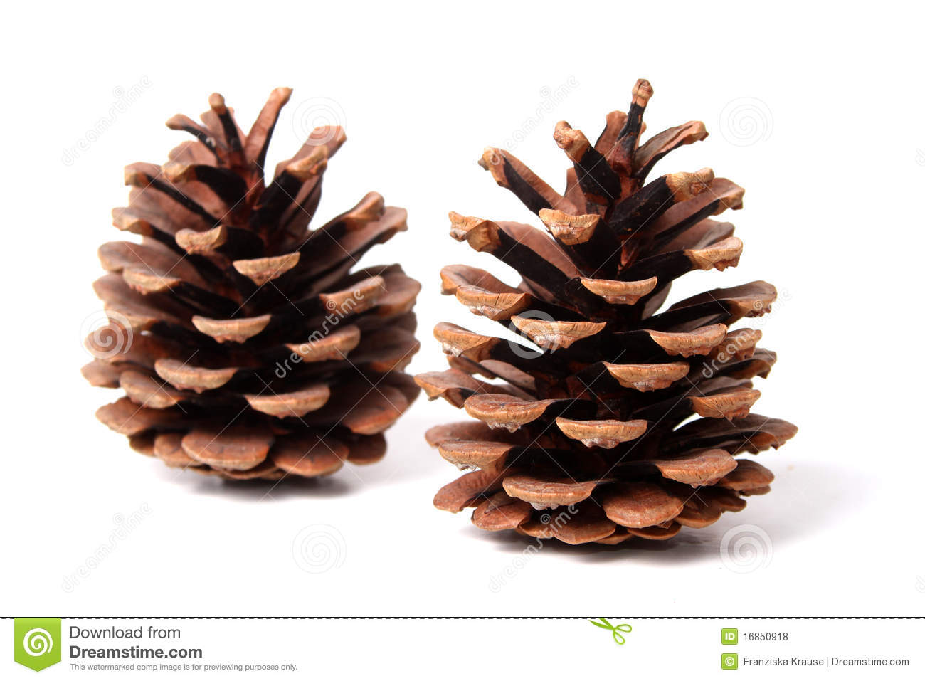 Two fir cones in front of a white background.