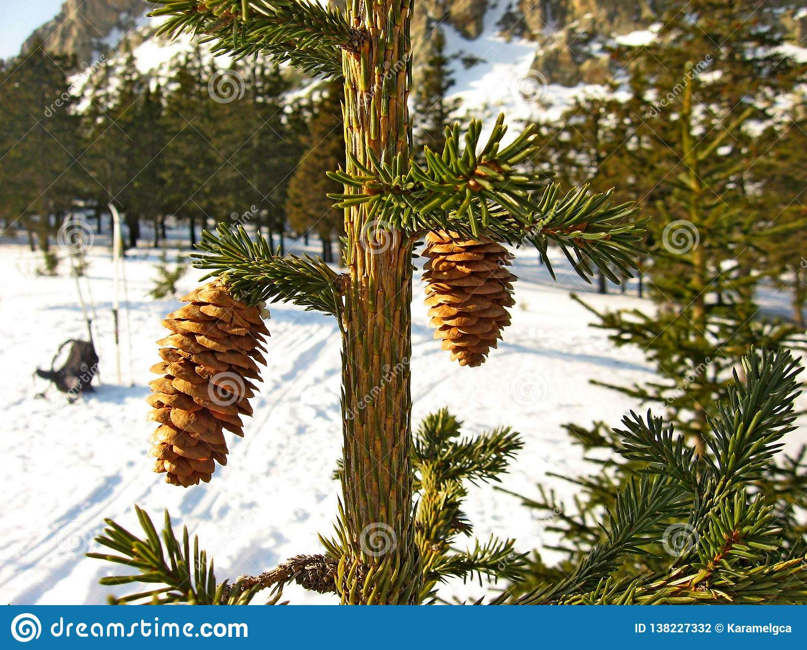 Fir cones on the branch.