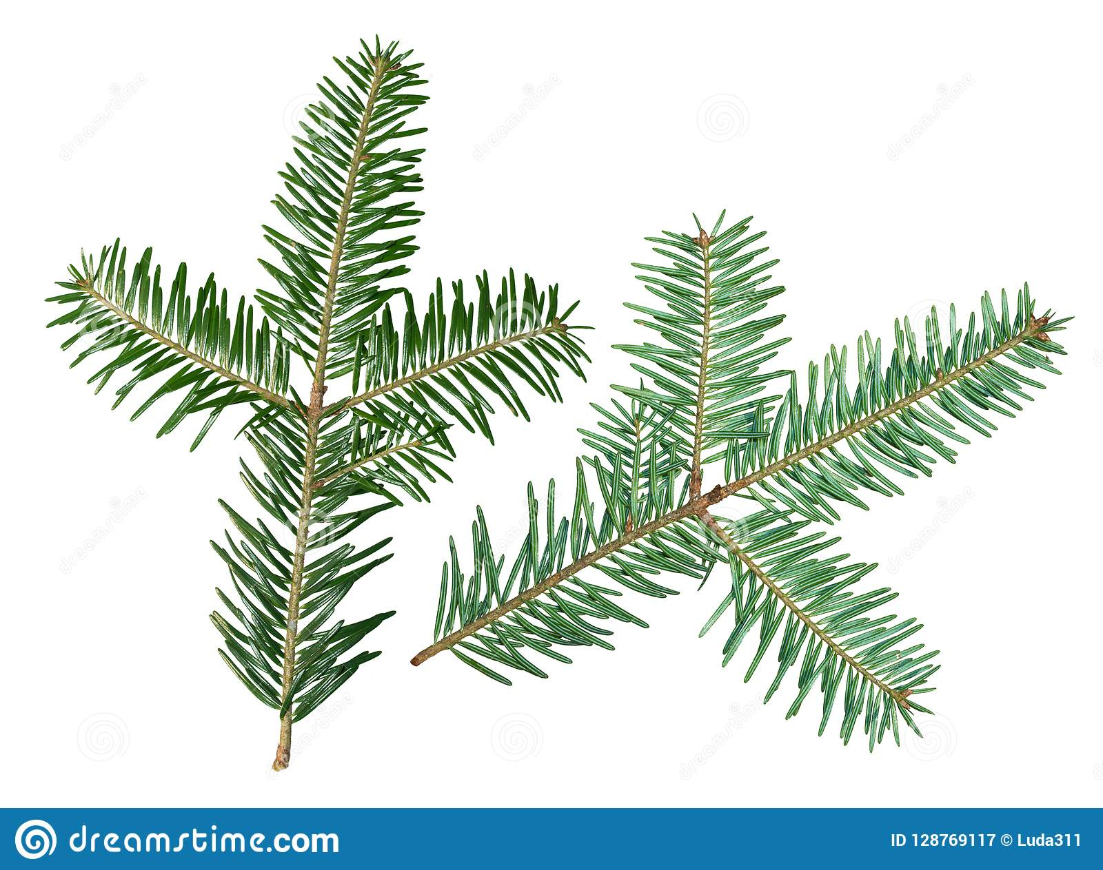 A Fir Tree Abies Sibirica Branch Is Isolated On A White Background