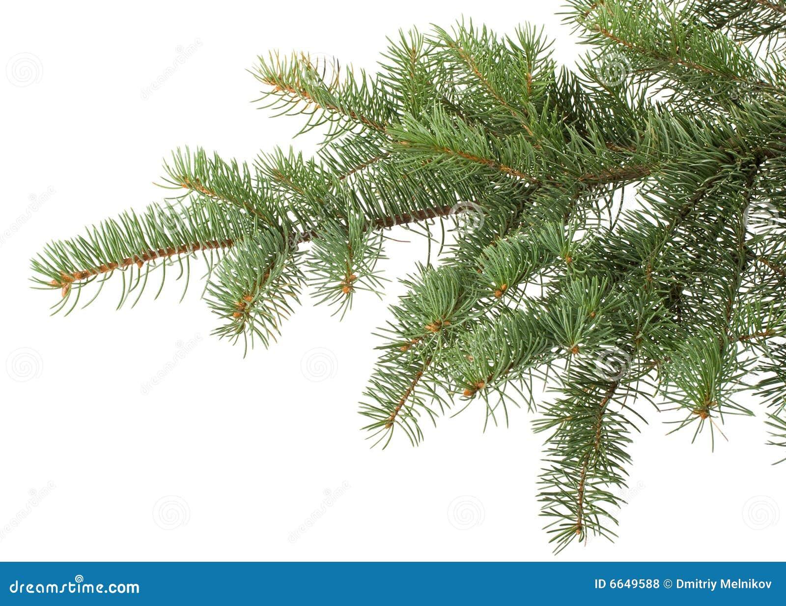 fir tree branch stock photo image of green pine branch