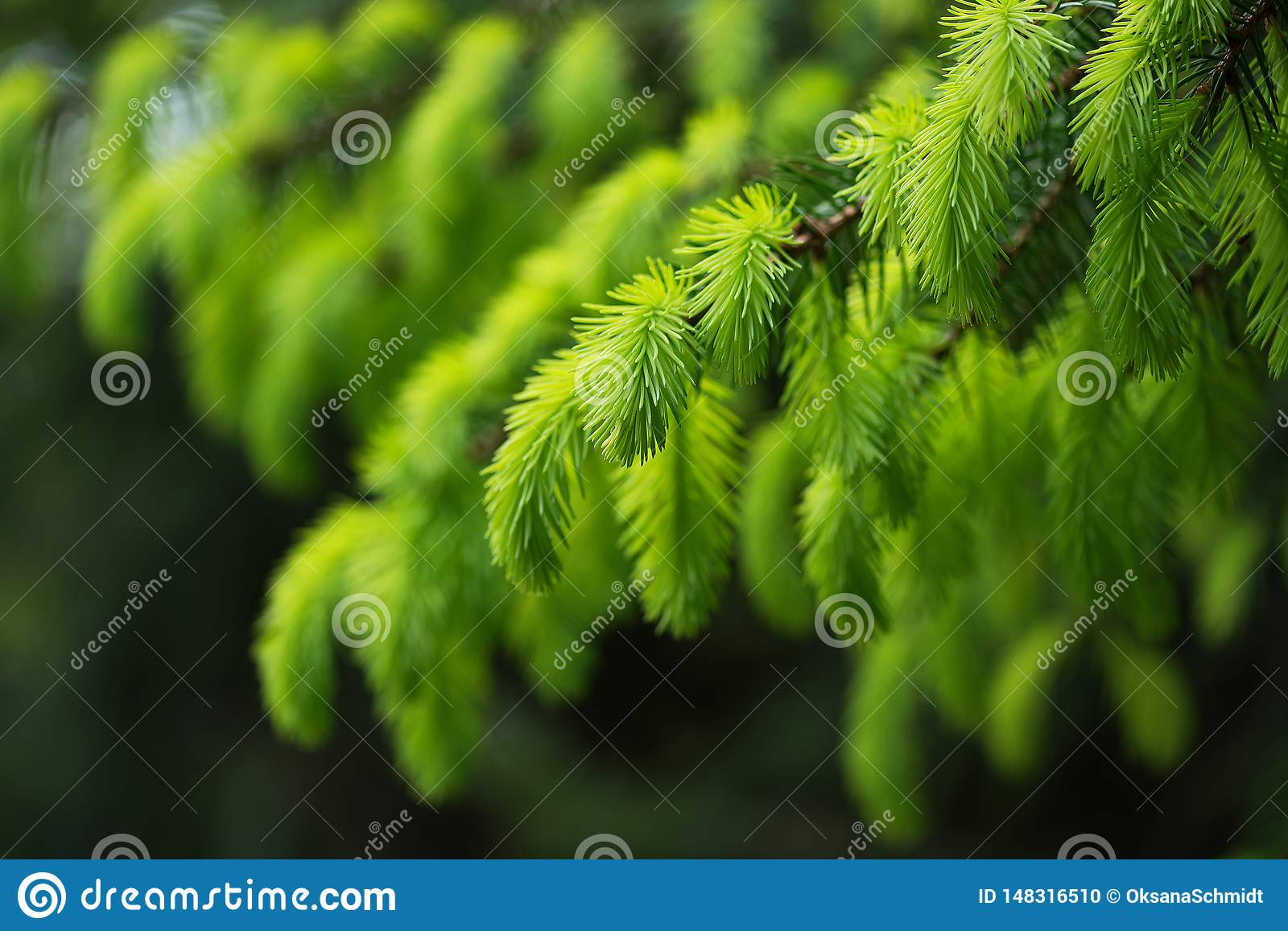 Fir tree branch with fresh young green shoots in springtime. Selective soft focus.