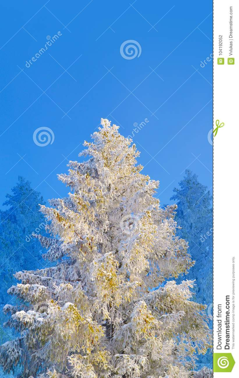 Fir tree covered by snow and hoarfrost on blue sky background