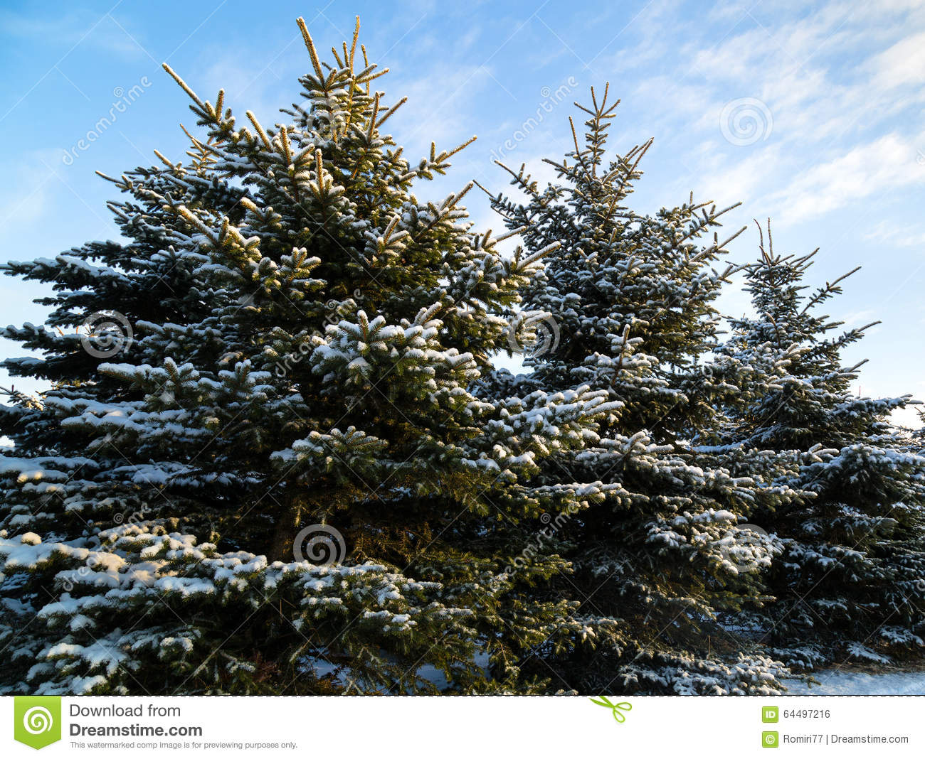 snowy fir trees forest - photo #30