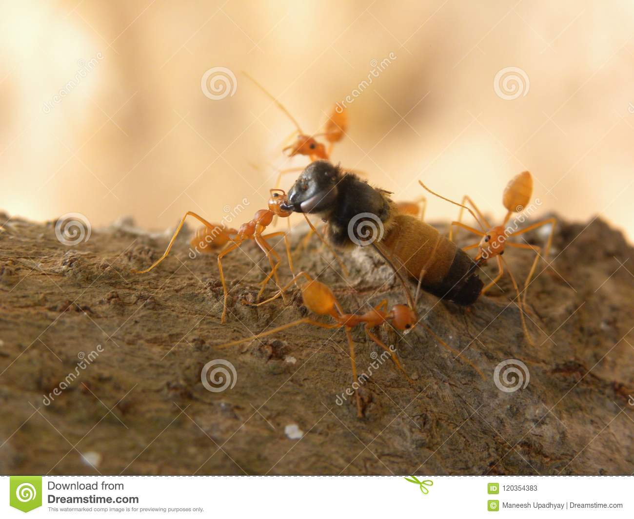 Fire ants carrying an insect