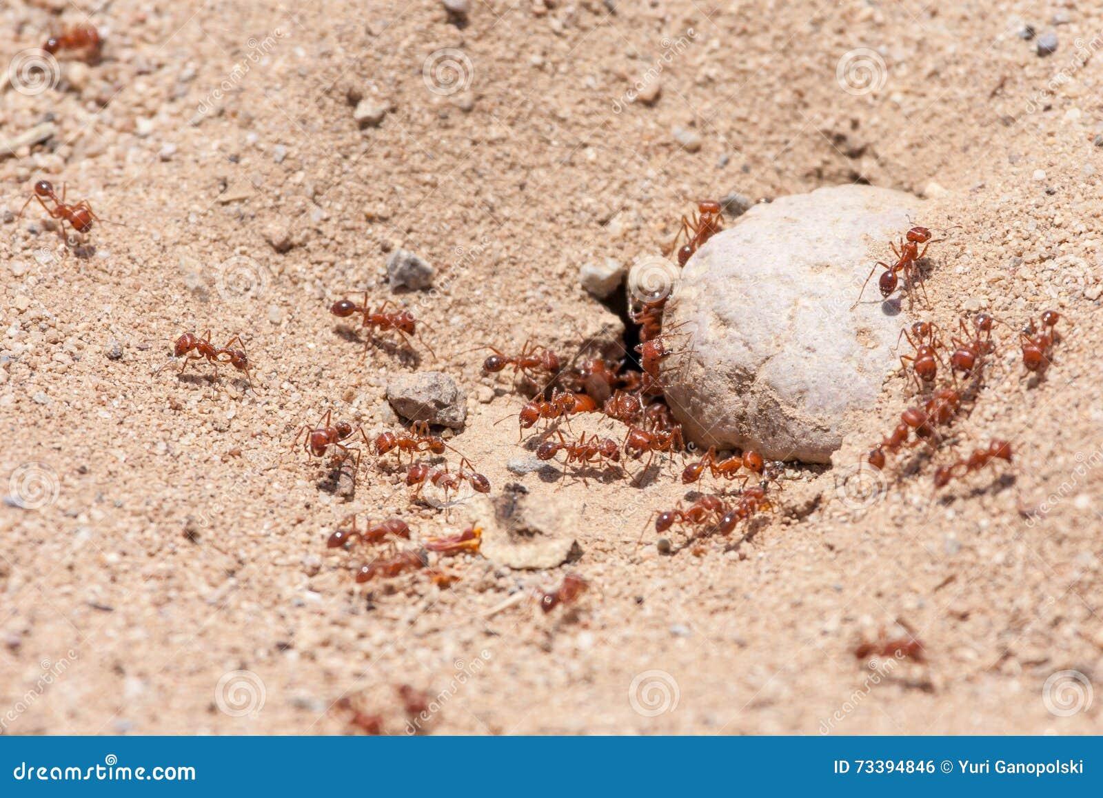 Fire Ants Colony at Laguna Coast Wilderness Park