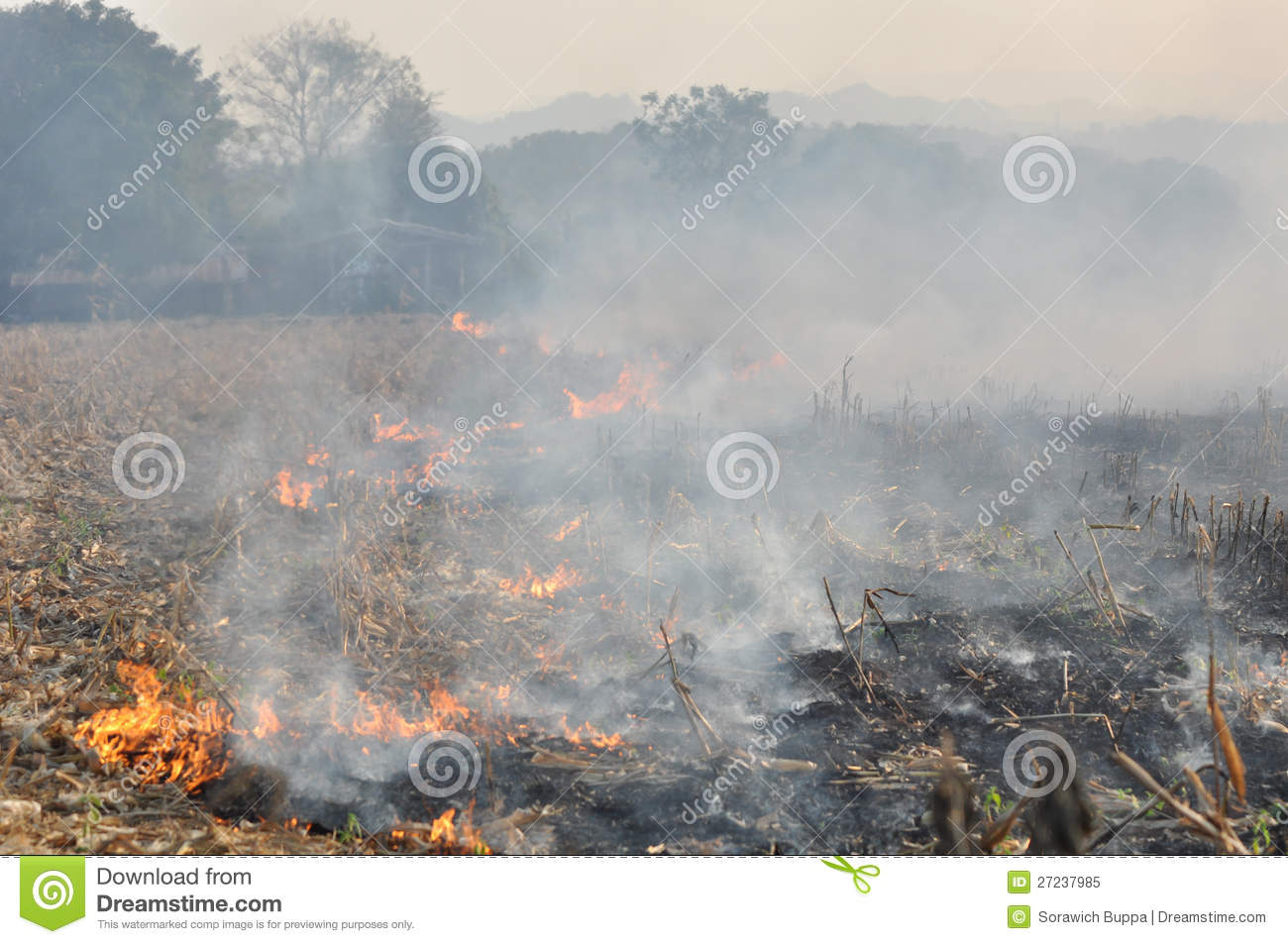 Fire in the corn field after harvest