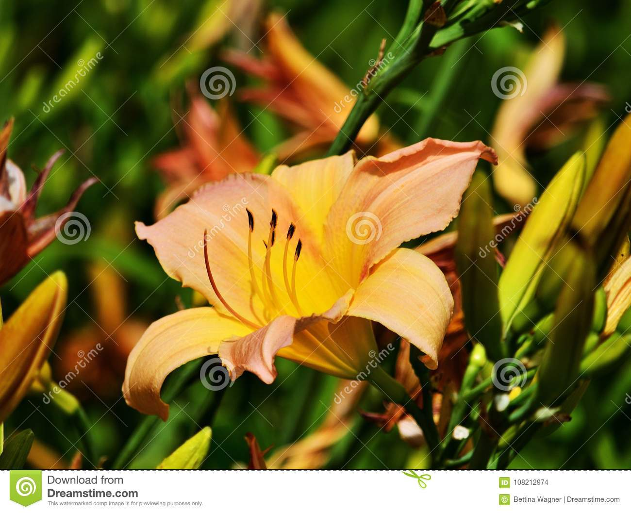 17c24d709662d Fire lilly in the garden stock photo. Image of yellow - 108212974