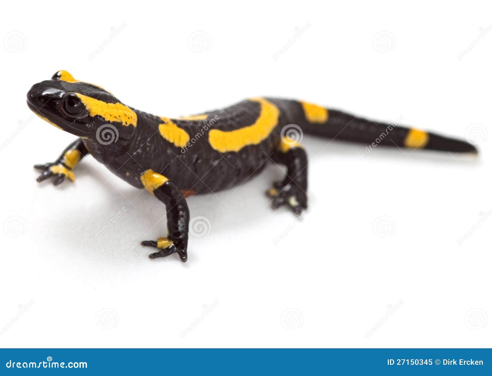 clipart newt - photo #48