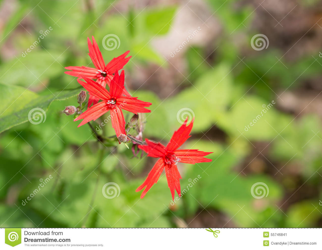 Fire Pink Flower Silene Virginica Stock Image Image Of Perennial