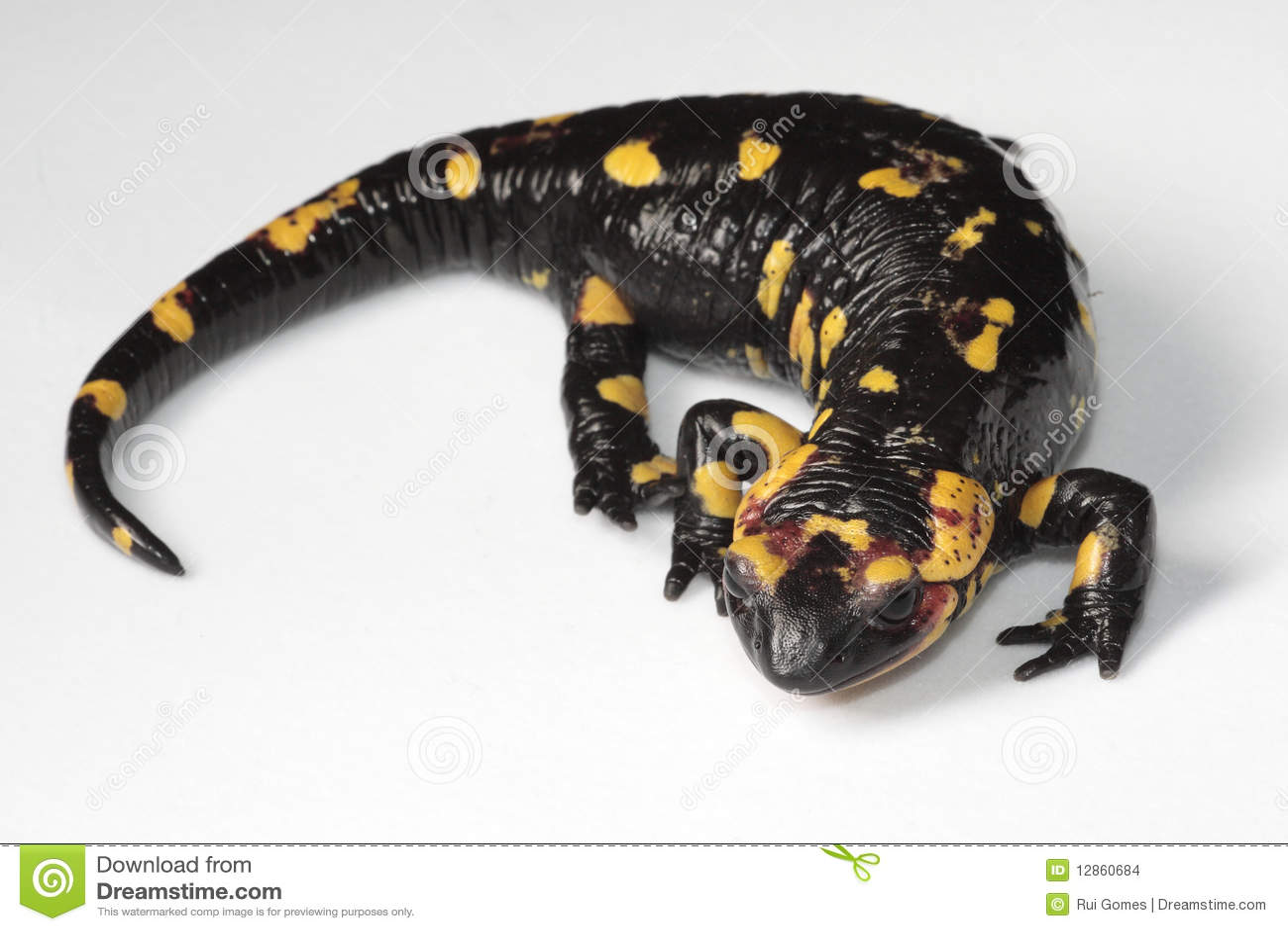 salamander white background - photo #10