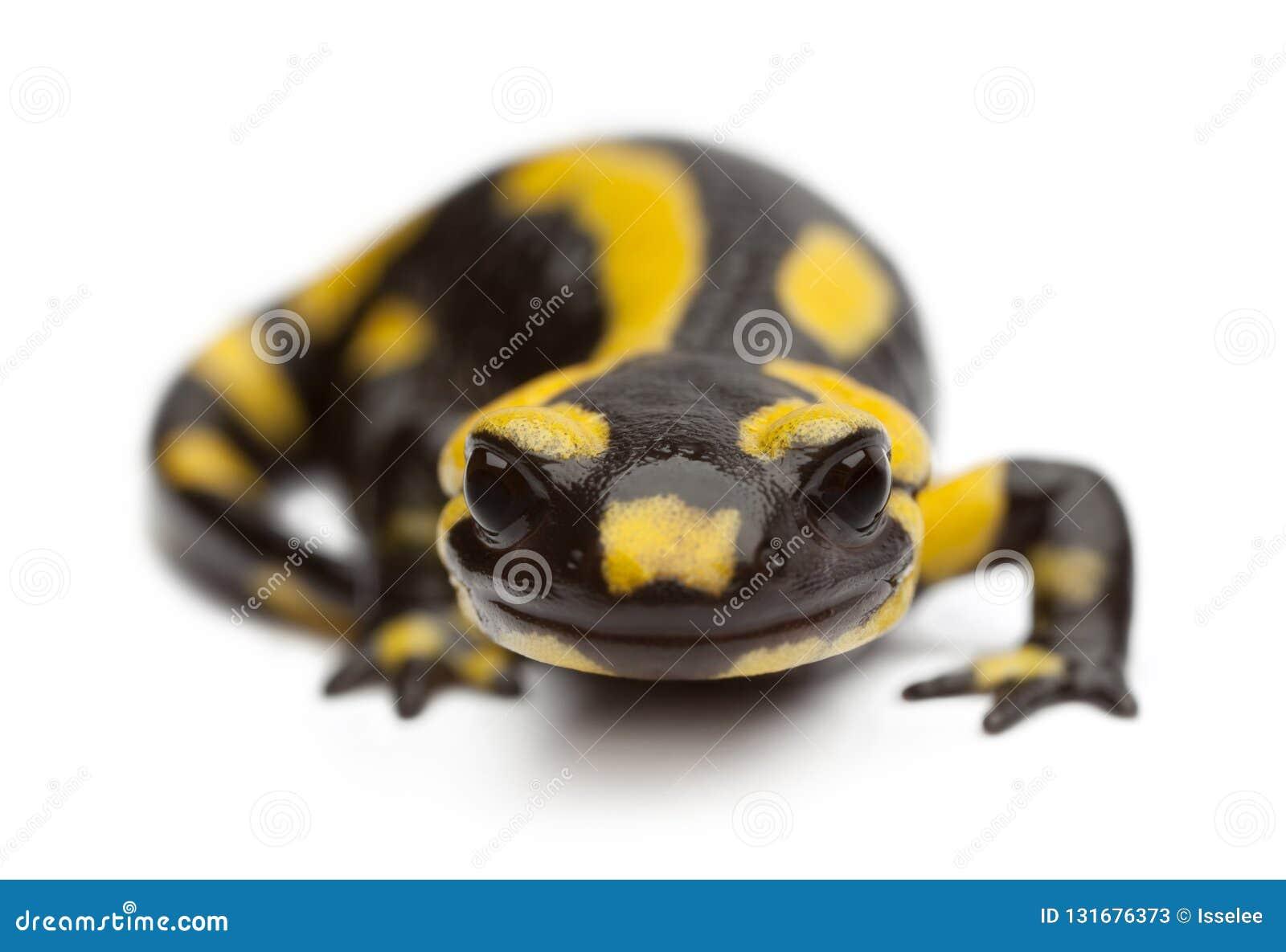 Fire salamander, Salamandra salamandra