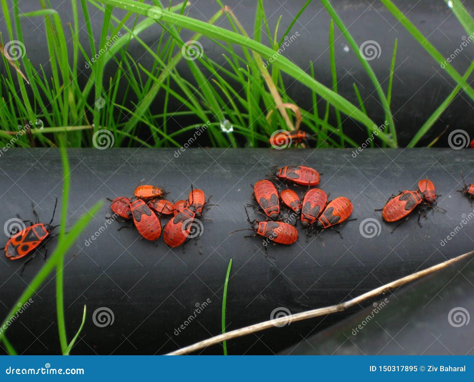 Firebugs en su hábitat natural - apterus de Pyrrhocoris