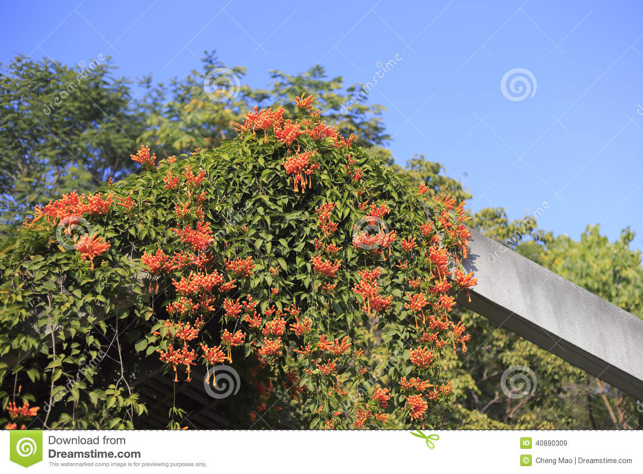 The Firecracker Flowers Stock Photo - Image: 40890309