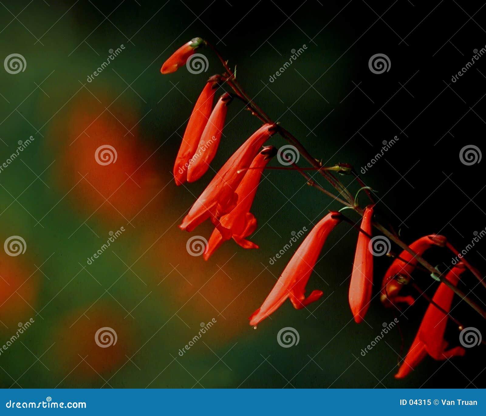 Firecracker penstamon