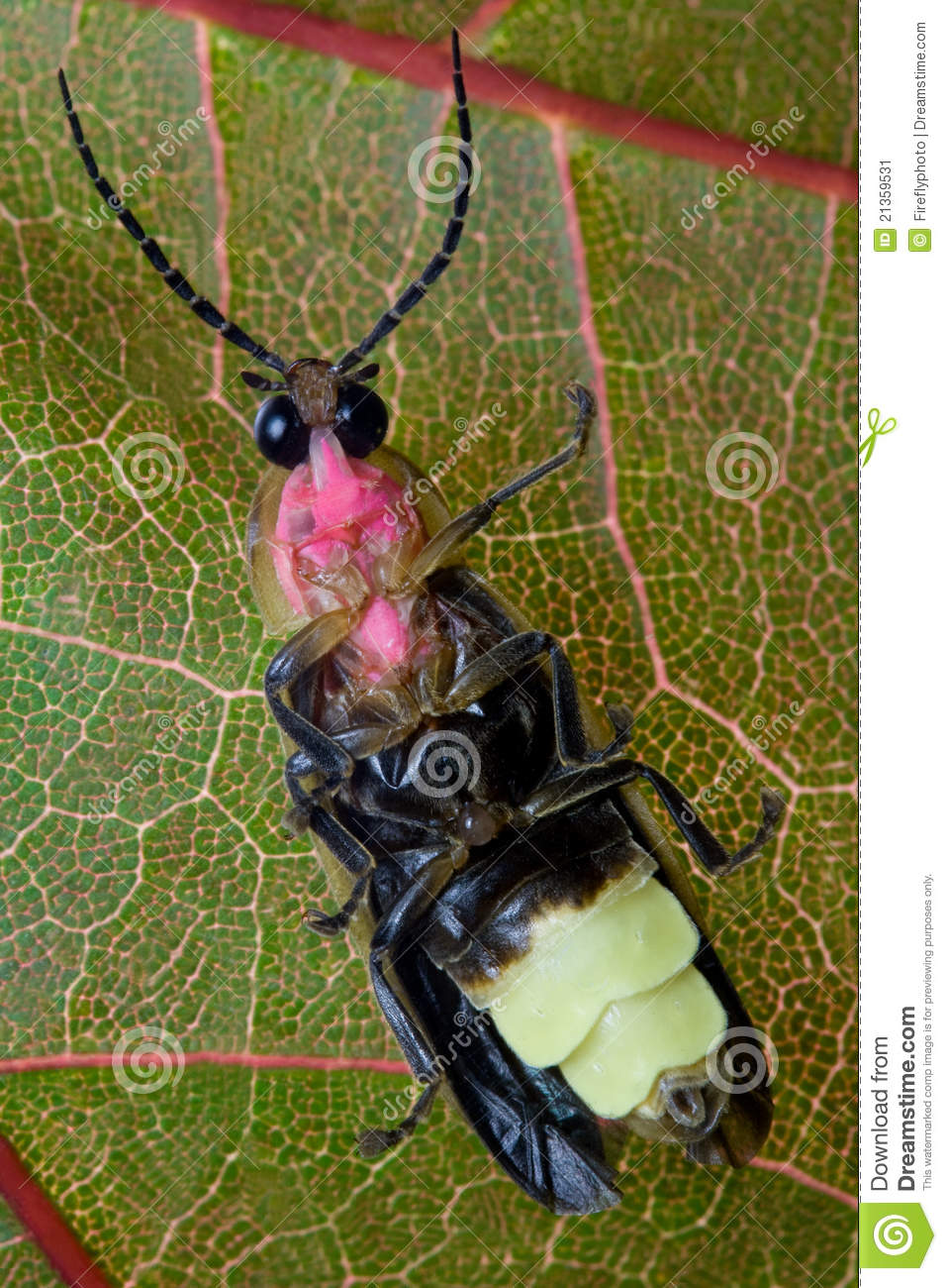 Firefly Lightning Bug On Leaf Stock Image Image 21359531