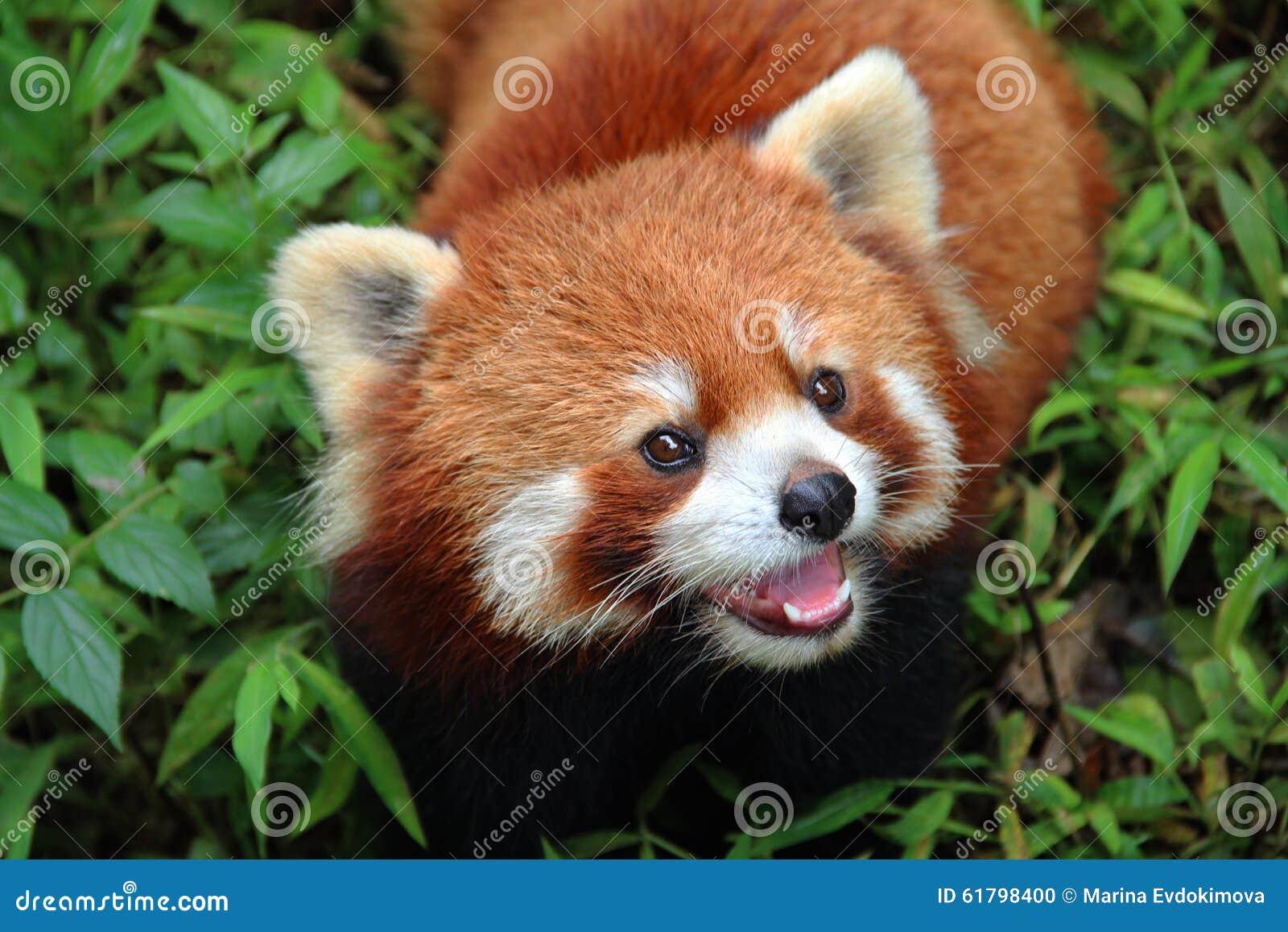 Firefox, la panda roja en Chengdu, China