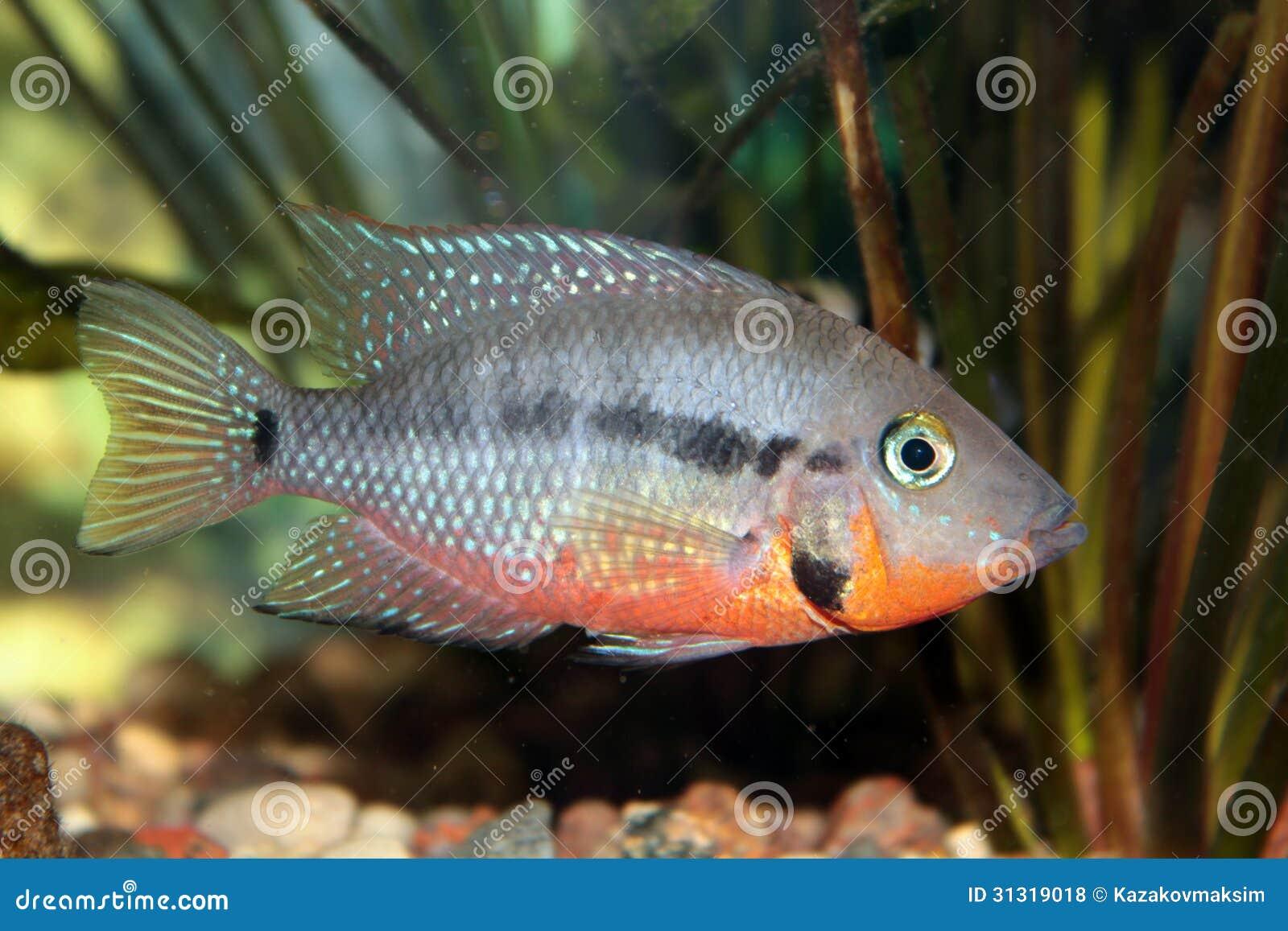 Freshwater aquarium fish cichlids - Firemouth Cichlid Thorichthys Meeki