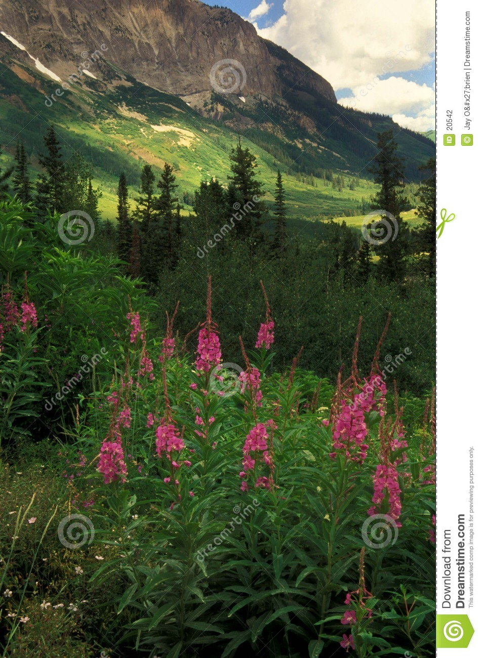 Fireweed & mountain
