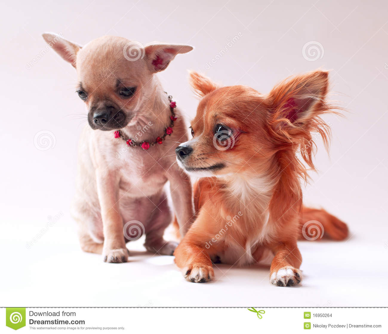 Chihuahua Dating