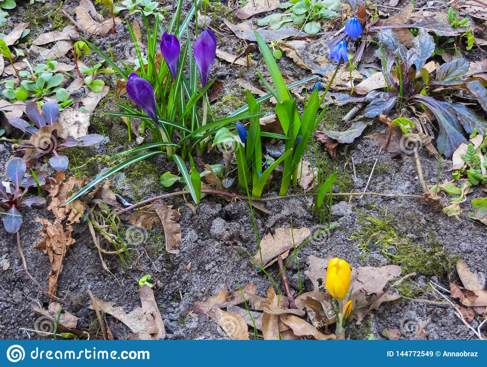 The first, delicate purple crocus flowers in early spring