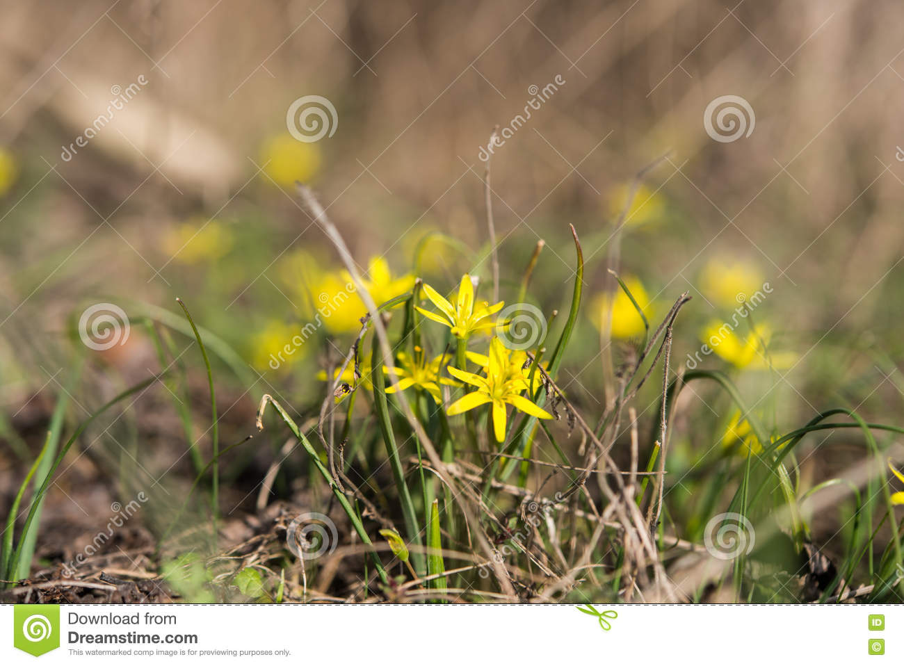 First Early Spring Yellow Flowers Stock Photo Image Of Beautiful