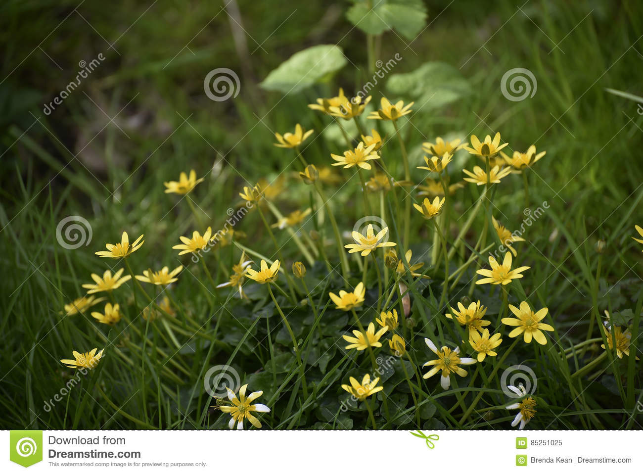 The First Flower Of Spring The Celandine In Lancashire Stock Image