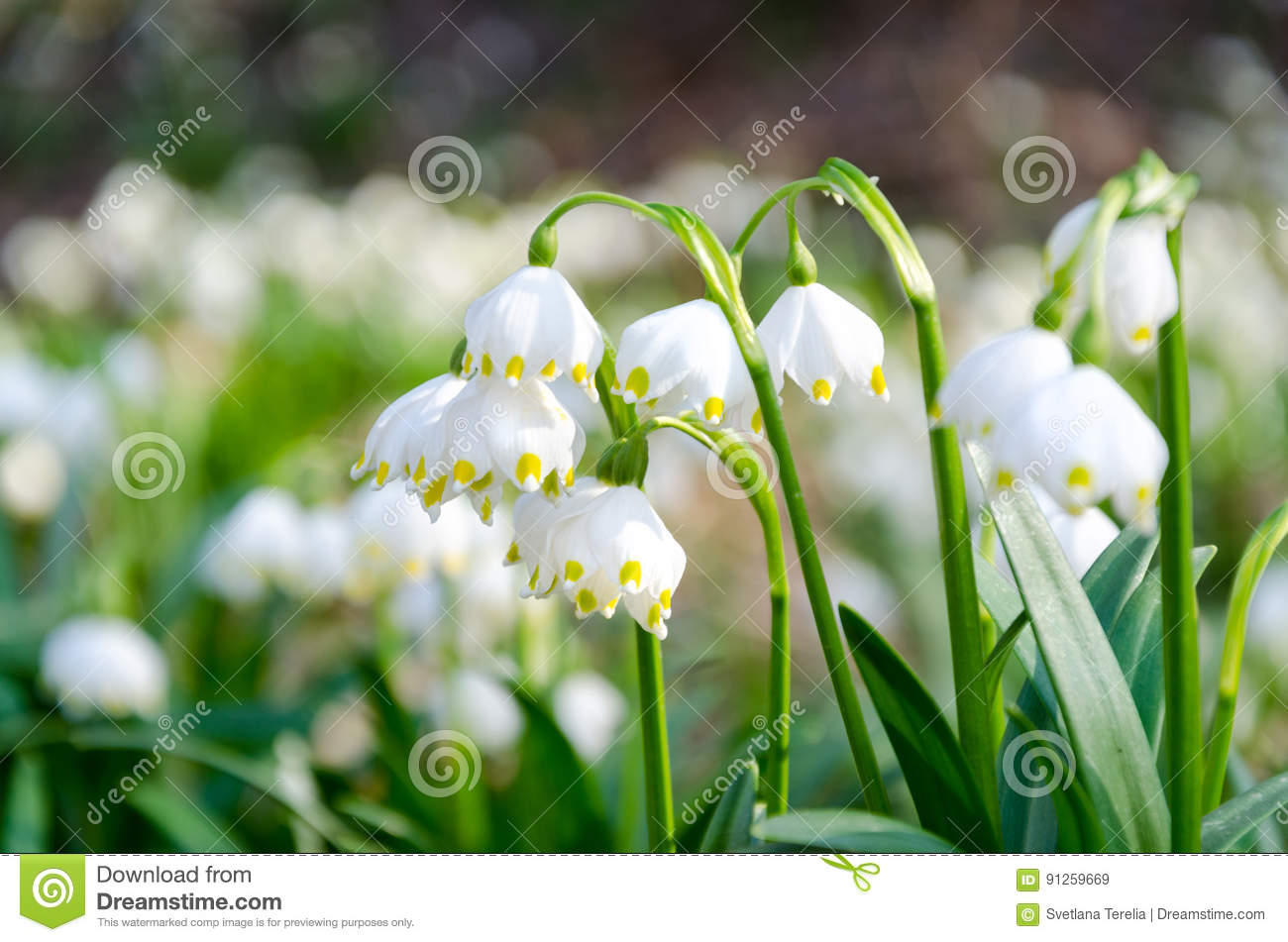 The First Flowers Of Spring Snowdrops Flowers On A Background O
