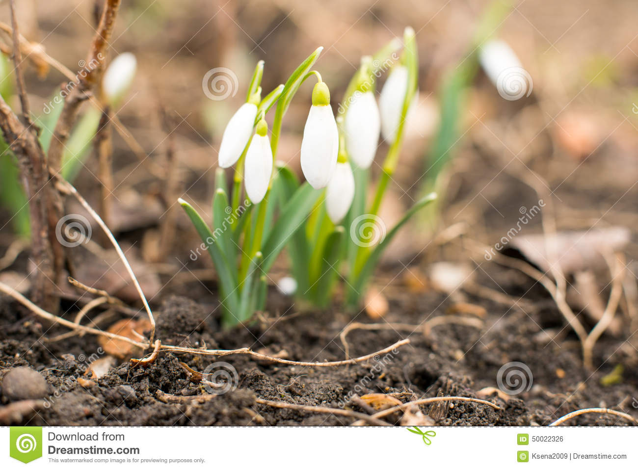 First Flowers Of Spring Snowdrops Stock Photo Image Of Beauty