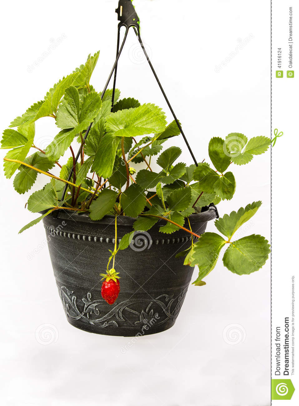 first fruit strawberry plant in black pot stock photo image 41916124. Black Bedroom Furniture Sets. Home Design Ideas