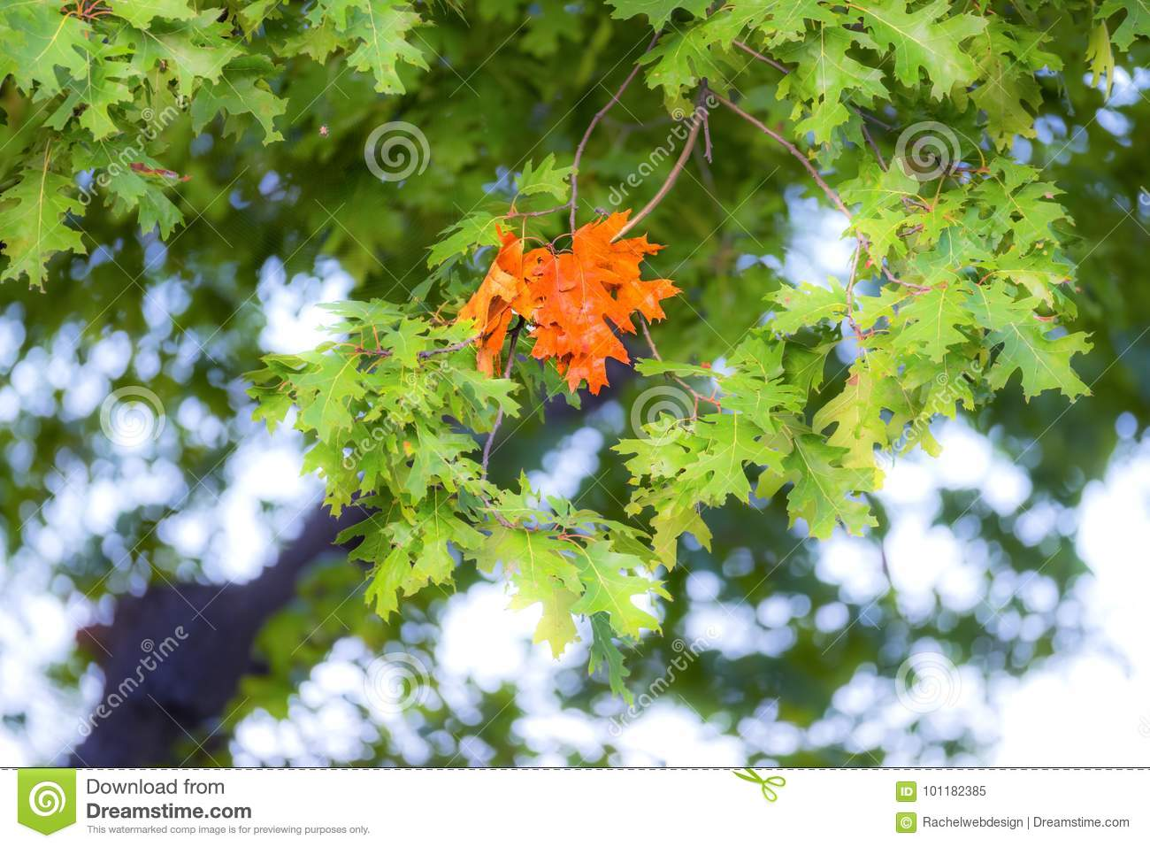 First Group Of Leaves Changed Color On Oak Tree, Vibrant Orange ...
