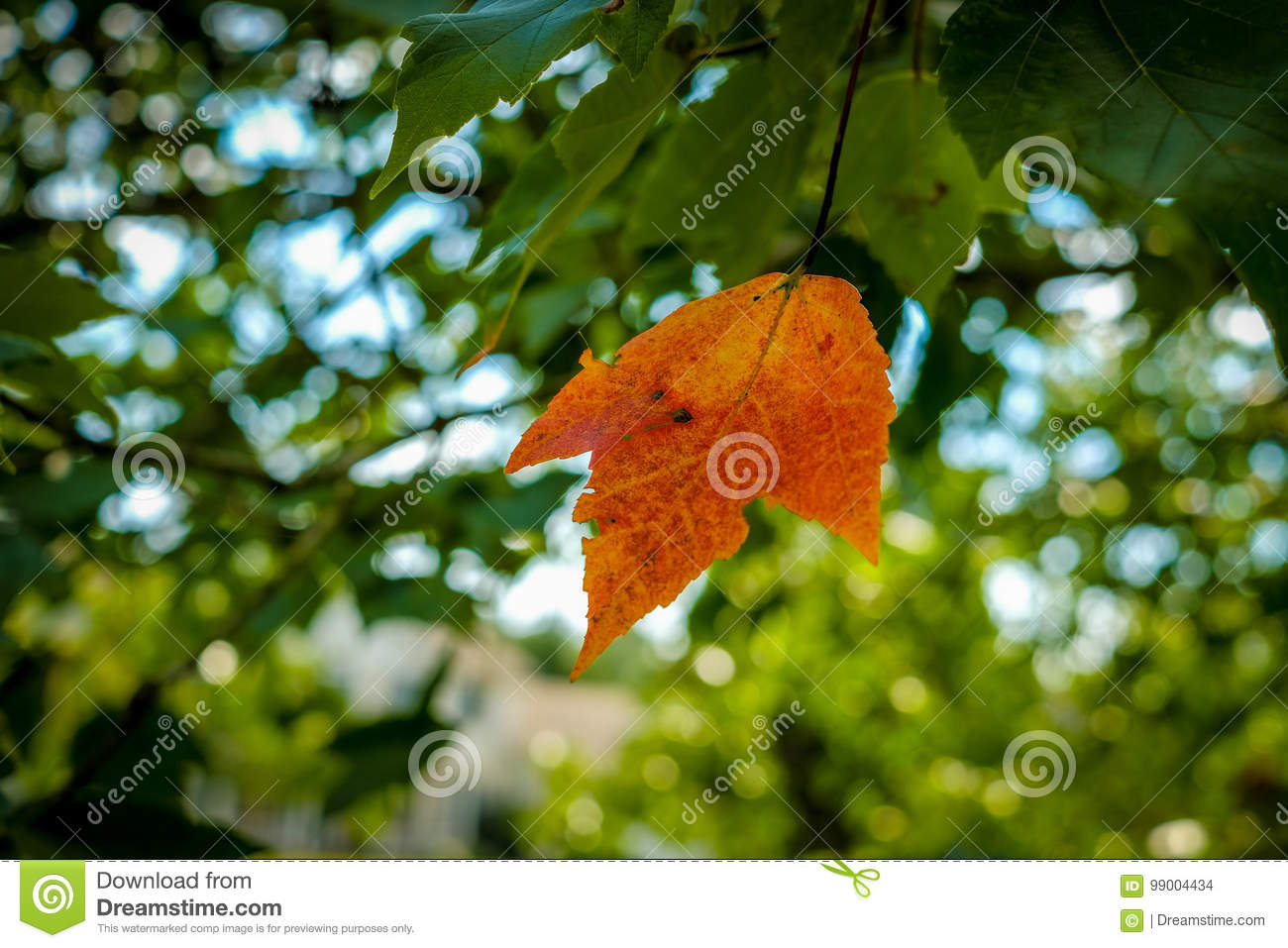One Orange Leaf On A Green Maple Tree Stock Photo - Image of yellow ...